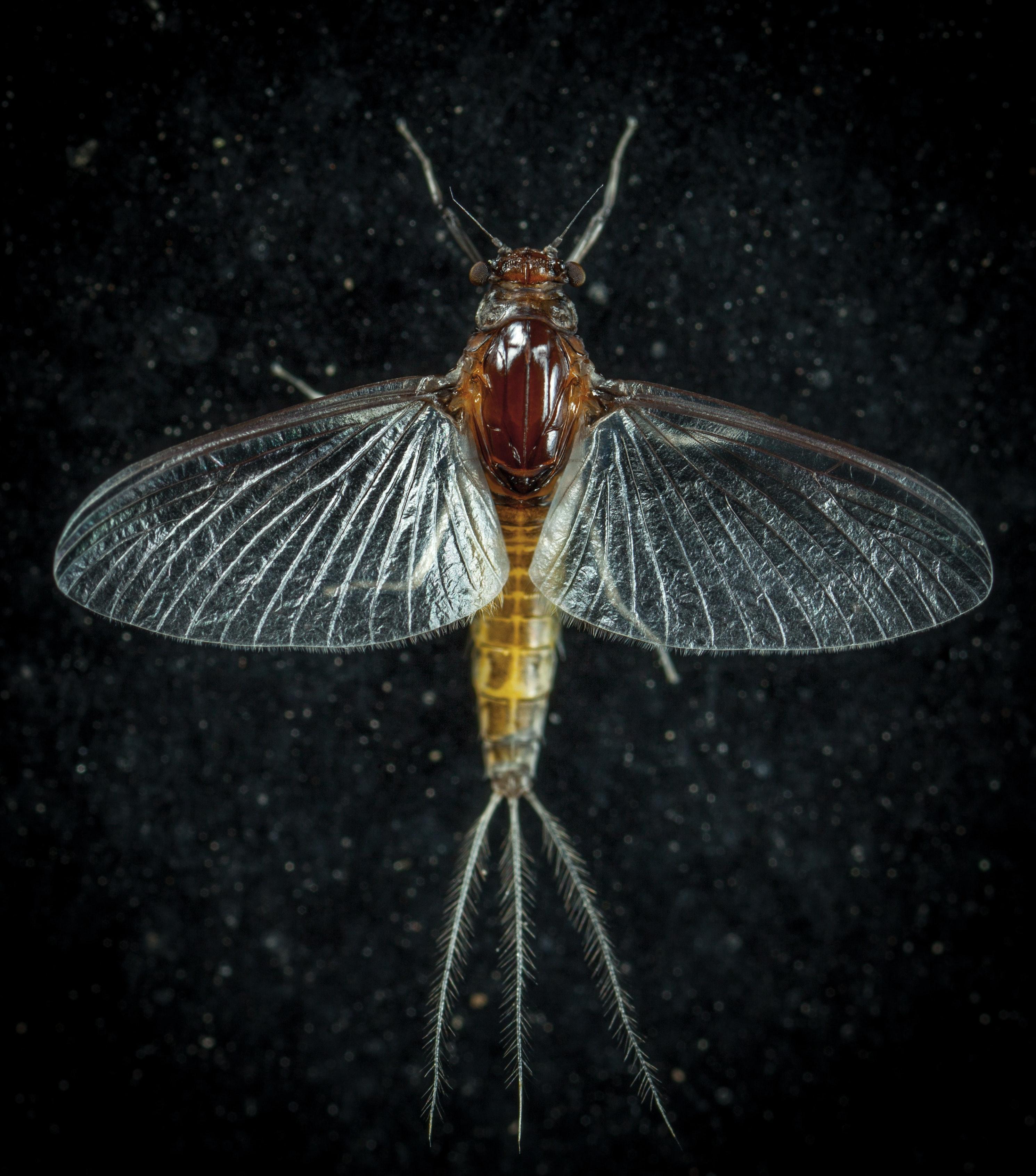 Closeup photo of mayfly