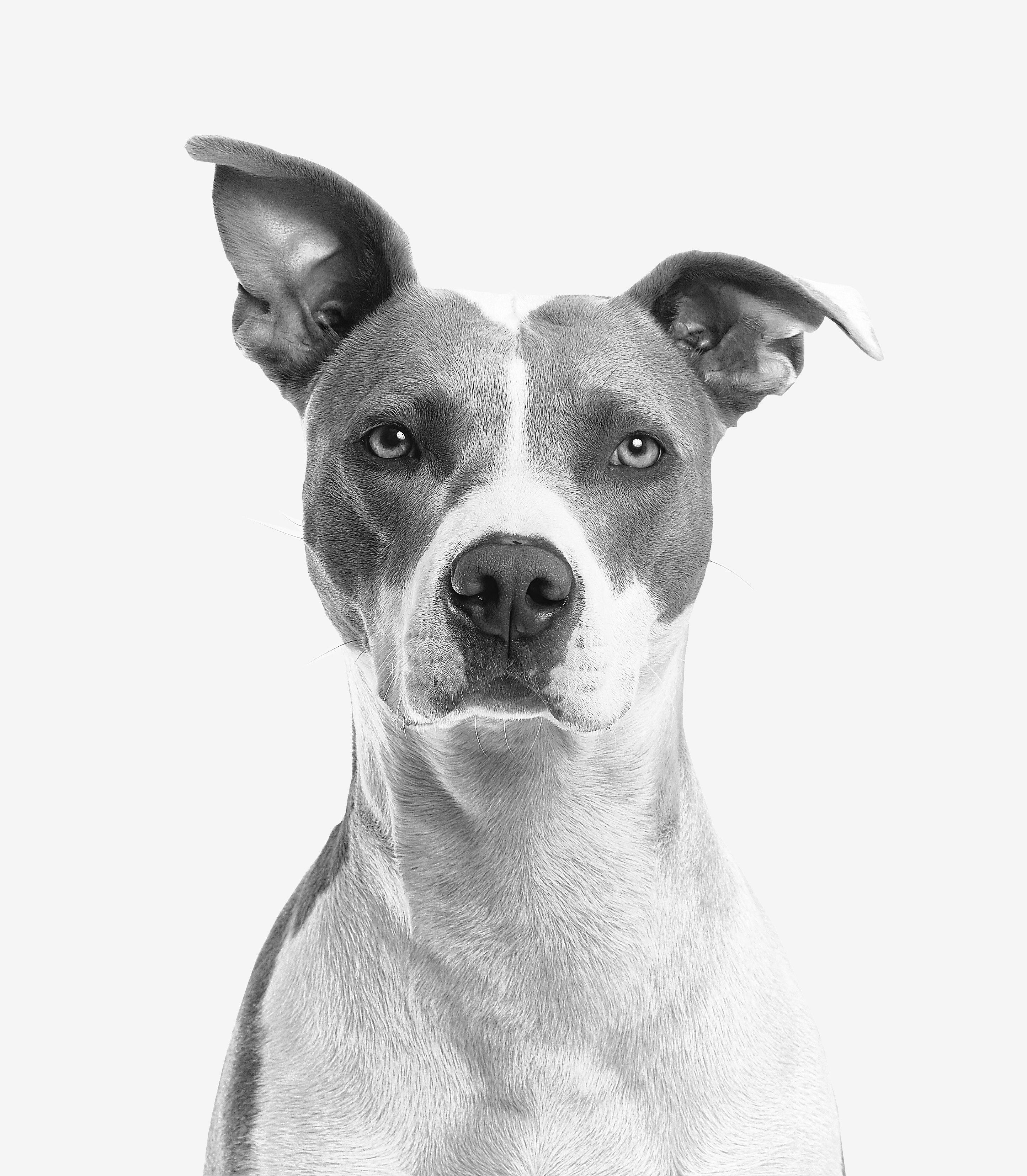 Closeup Photo of Short-coated White and Gray Dog, Portrait, Pet, Monochrome, Mammal, HQ Photo