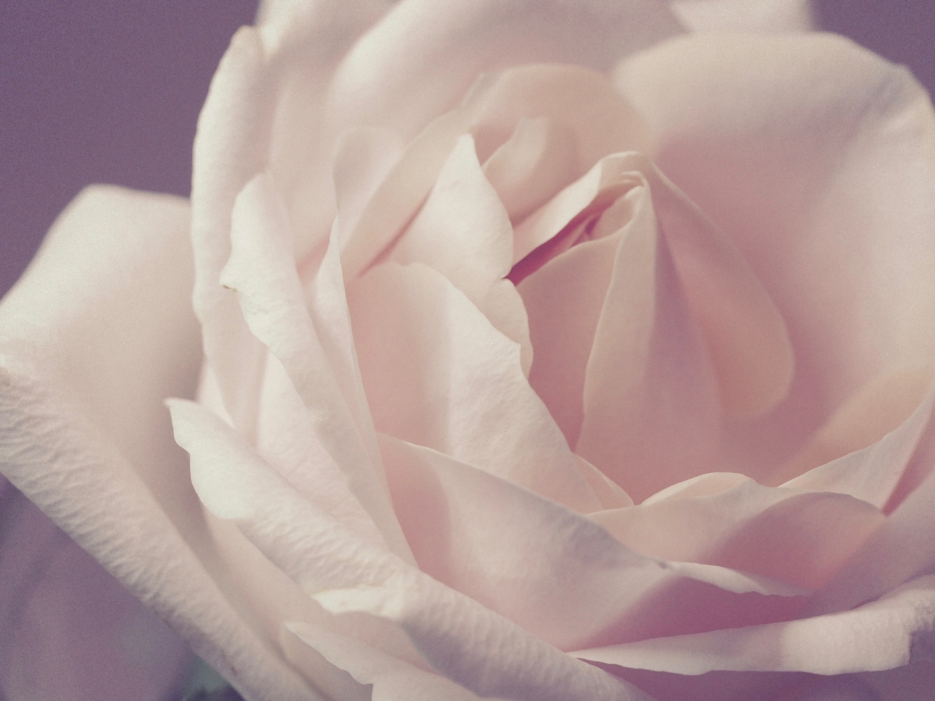 free photo: closeup photo of white rose - petal, hd wallpaper