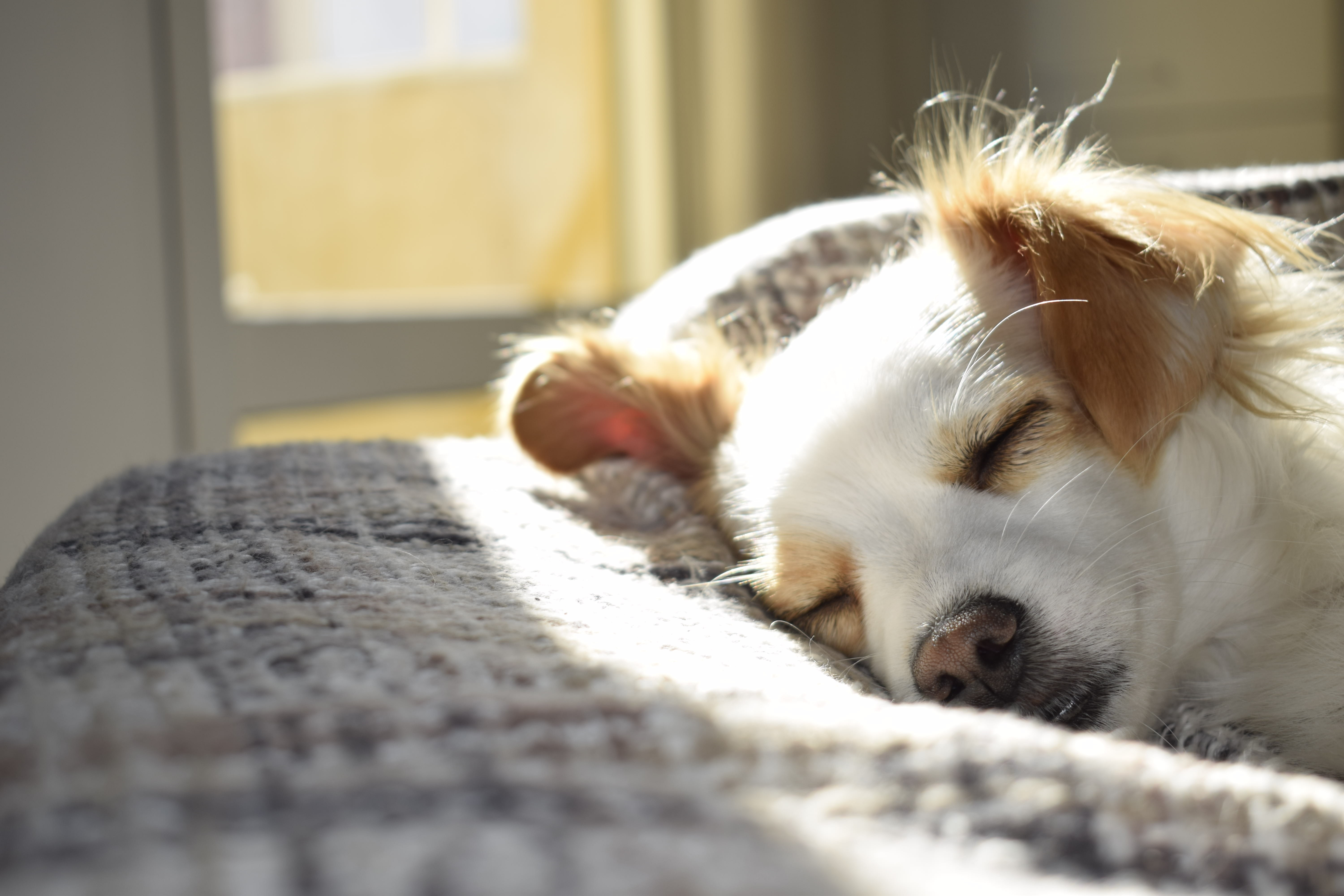 Closeup Photography of Adult Short-coated Tan and White Dog Sleeping on Gray Textile at Daytime, Mammal, Young, Sun, Sleepy, HQ Photo