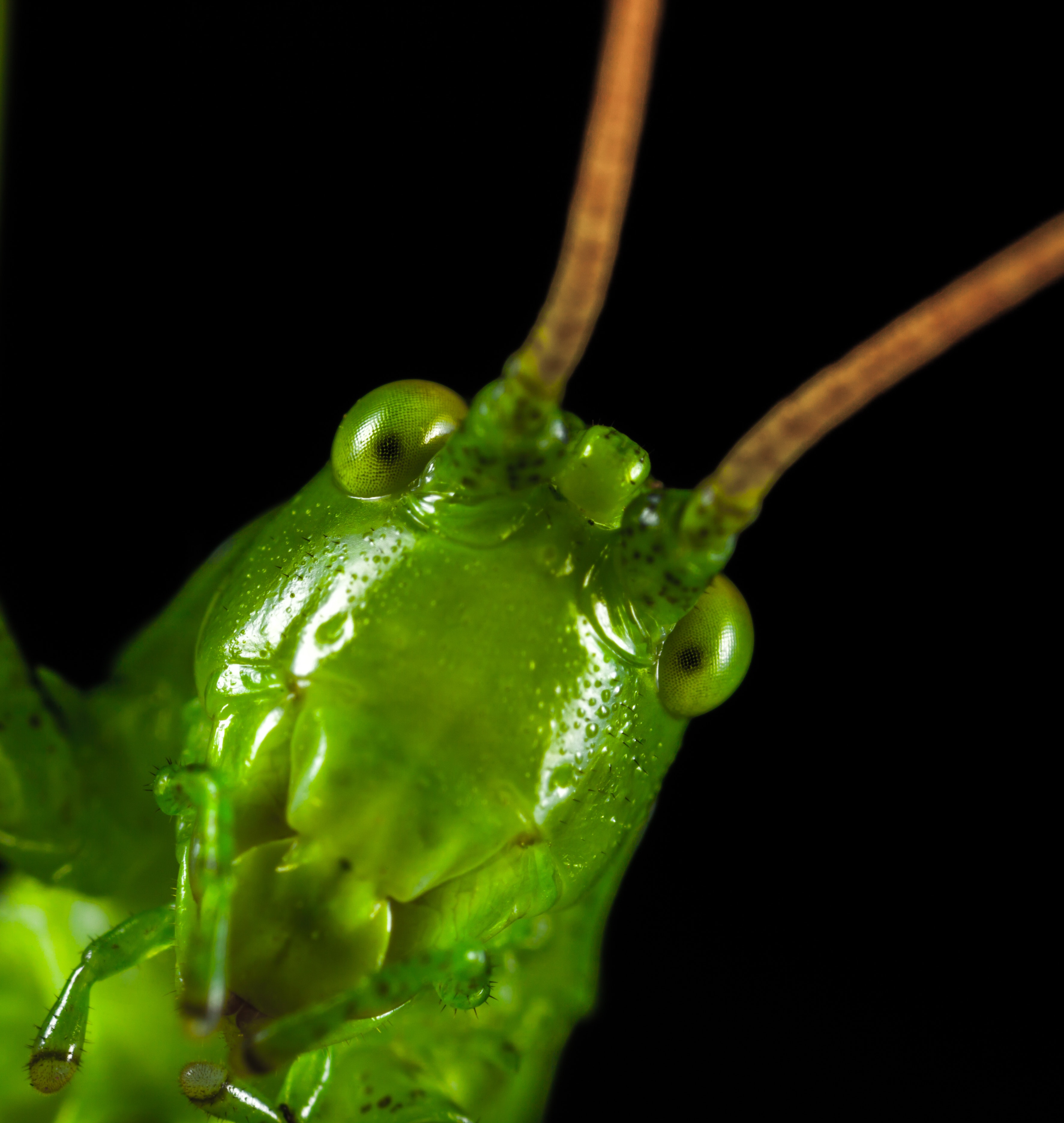 Closeup Photography of Green Grasshopper, Animal, Little, Pest, Outdoors, HQ Photo