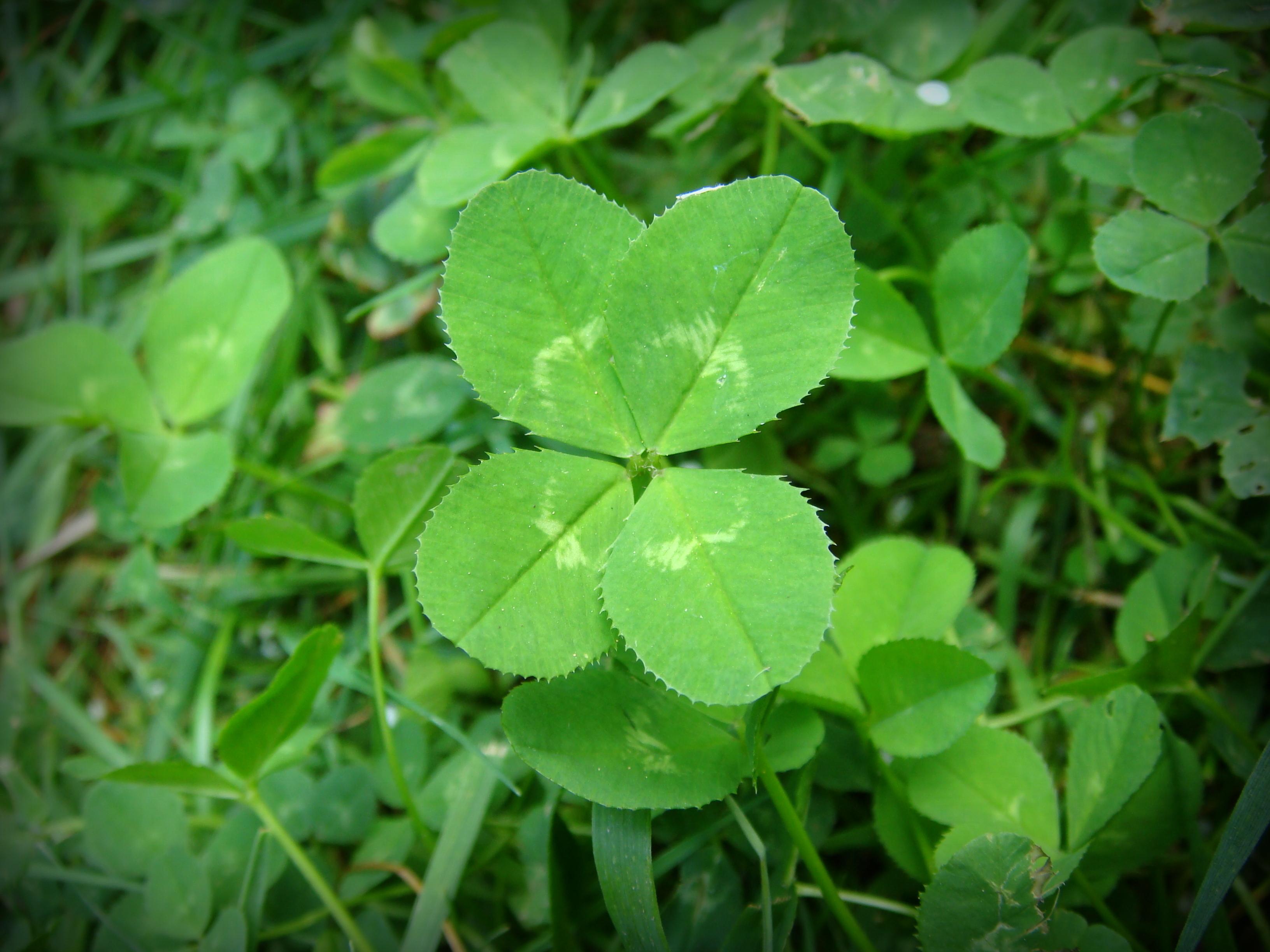Green three-leaved clovers photo
