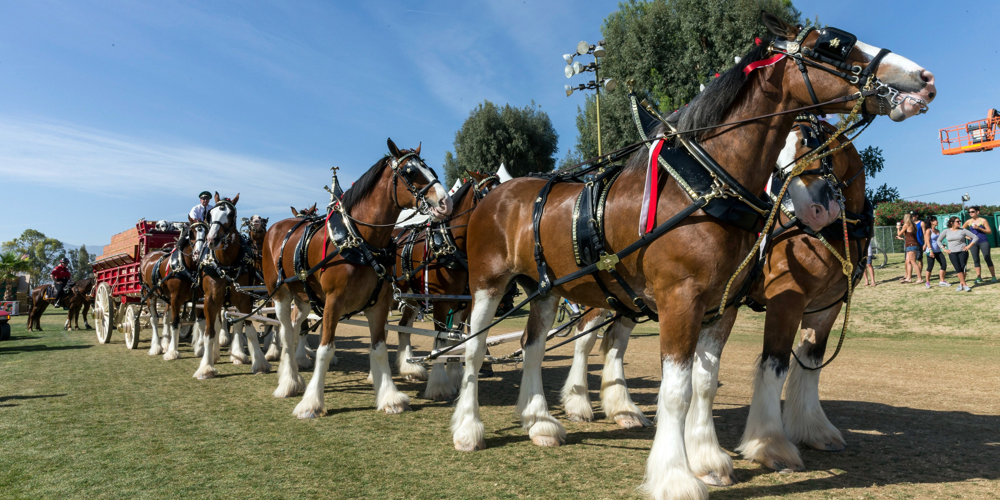 Free Photo Clydesdales Farm Animal Clydesdale Farm Free Download Jooinn