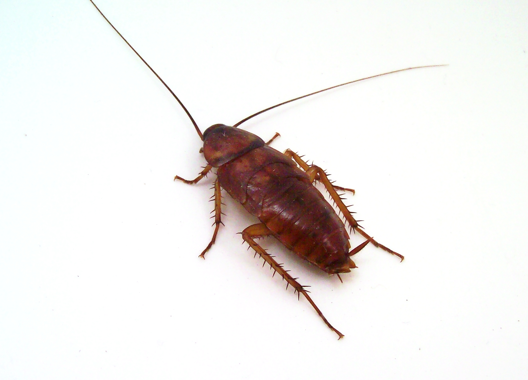 Cockroach, Animals, Legs, Hairy, Head, HQ Photo