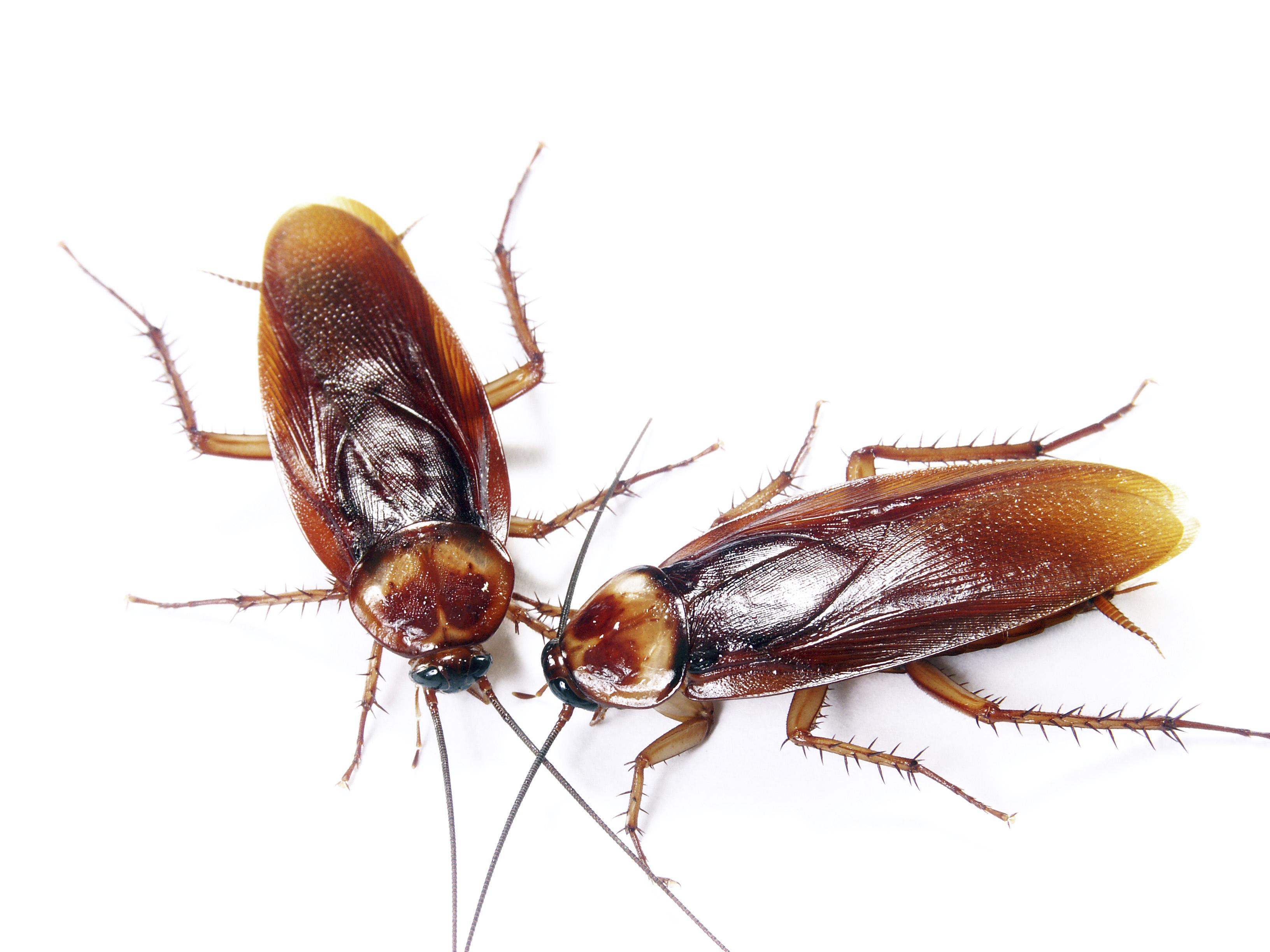 Cockroaches | Fort Wayne Allen County Department of Health