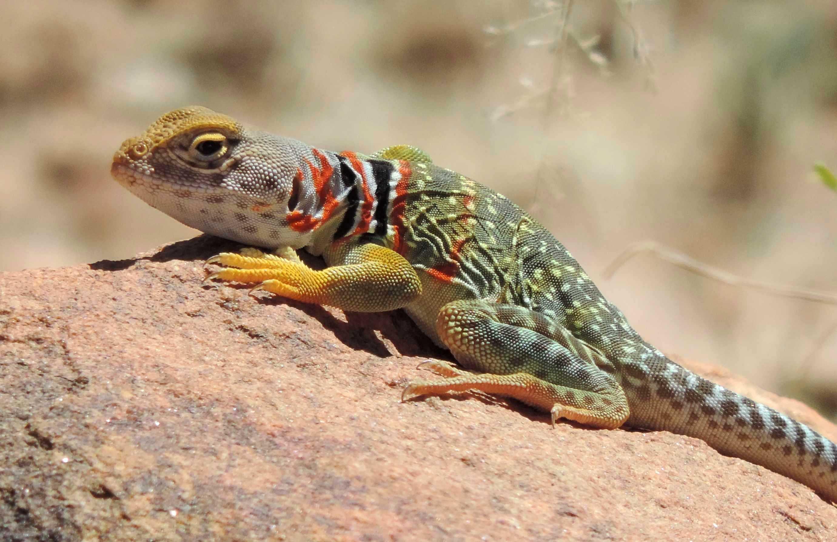 Collared lizard photo