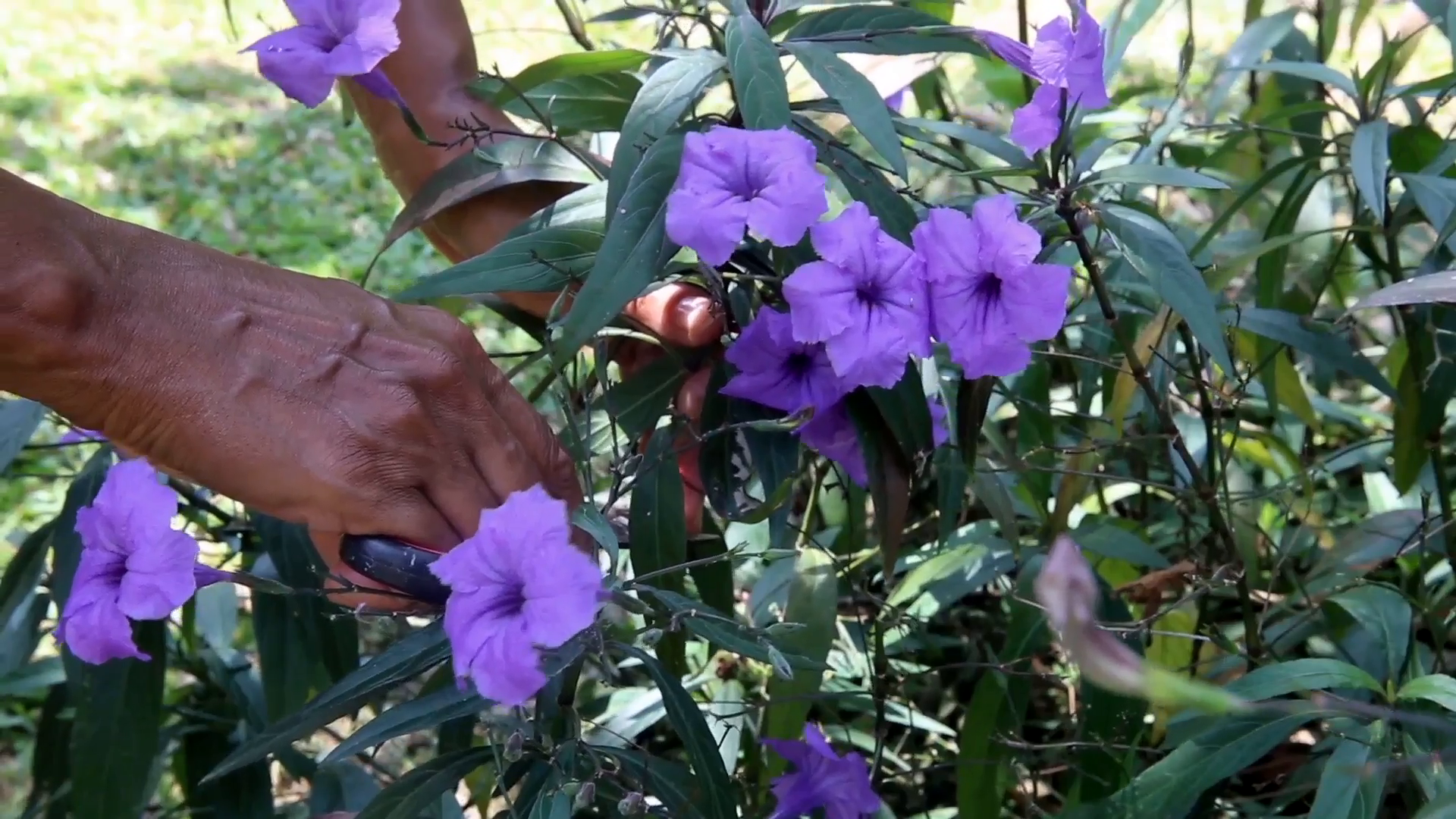 Close up) Woman cutting and collecting flowers (2) Stock Video ...