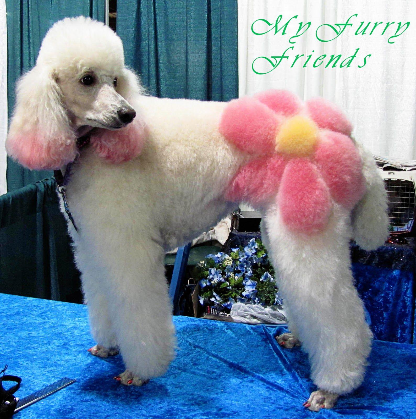 Colored poodle photo