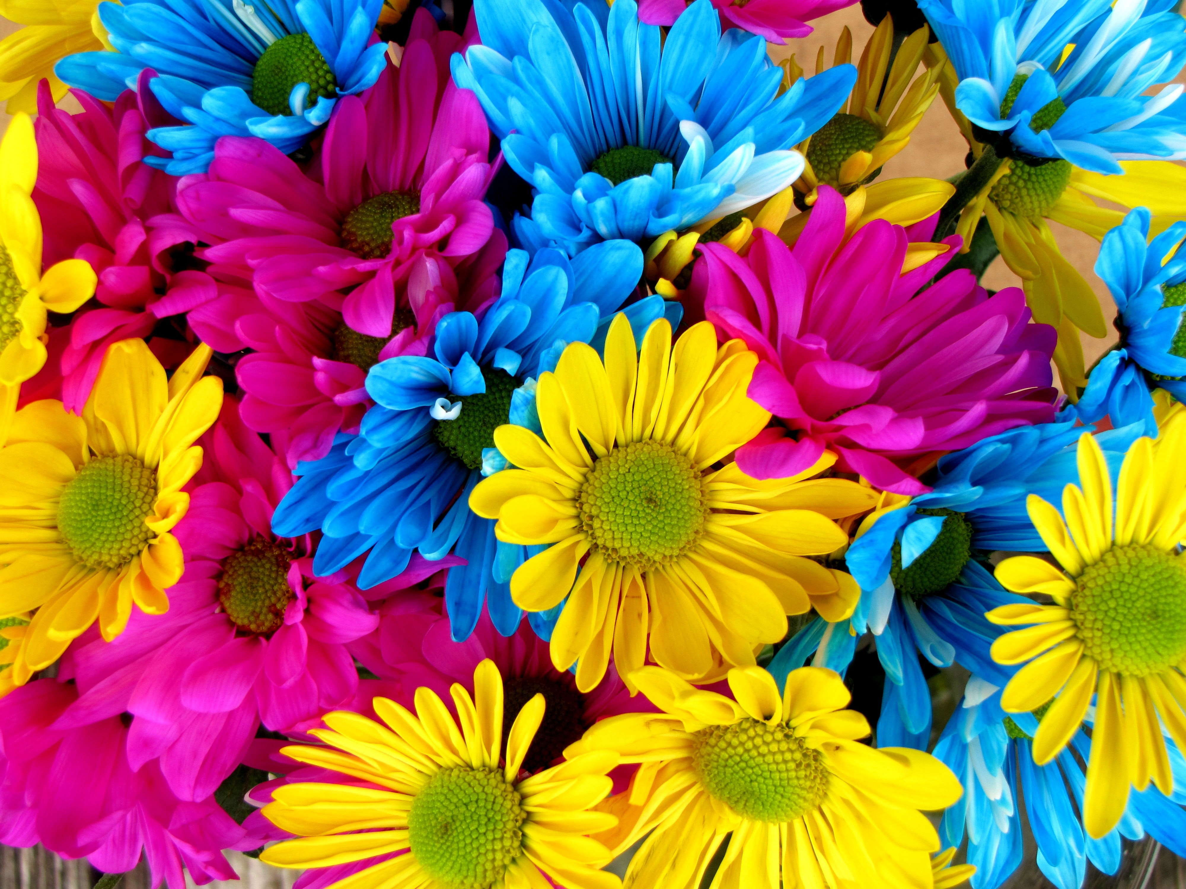 Free photo colorful daisies pink flowers daisy free download colorful daisies izmirmasajfo