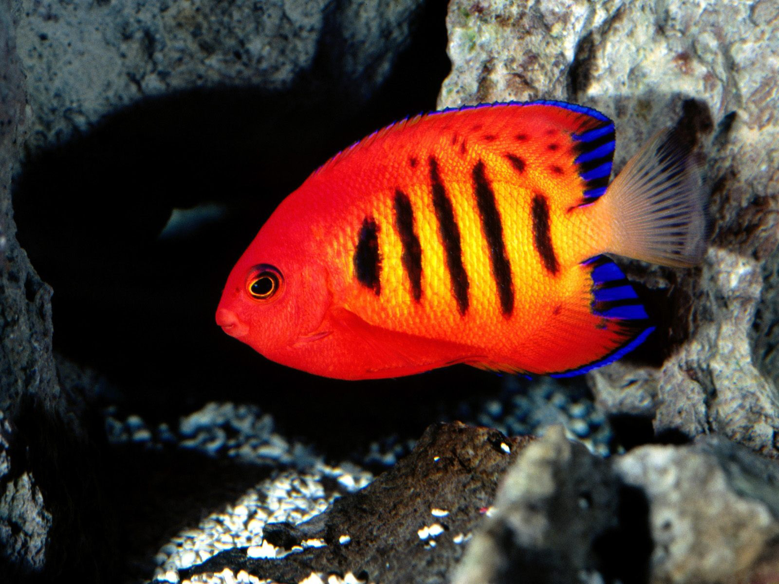 Free photo: Colorful fish - Sea, Tank, Wildlife - Free Download - Jooinn
