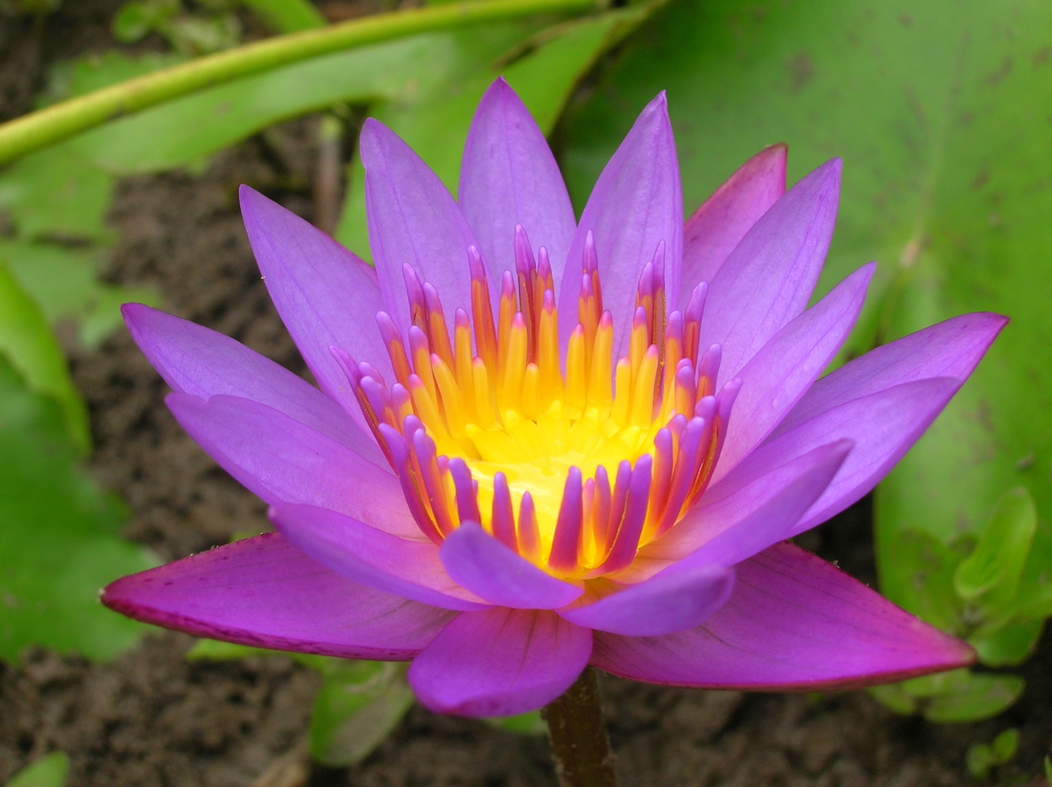 Free photo colorful flower pink pretty purple free download colorful flower mightylinksfo