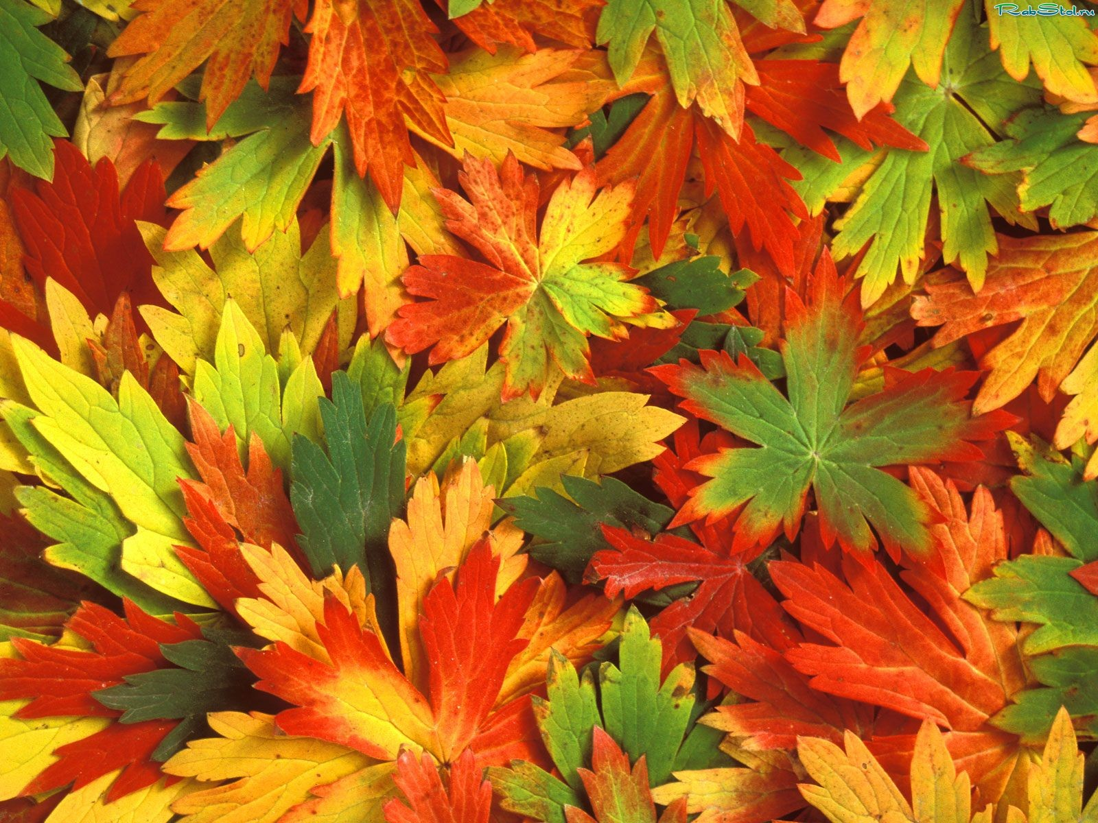 texture autumn leaves, autumn, foliage, download photo, leaves ...