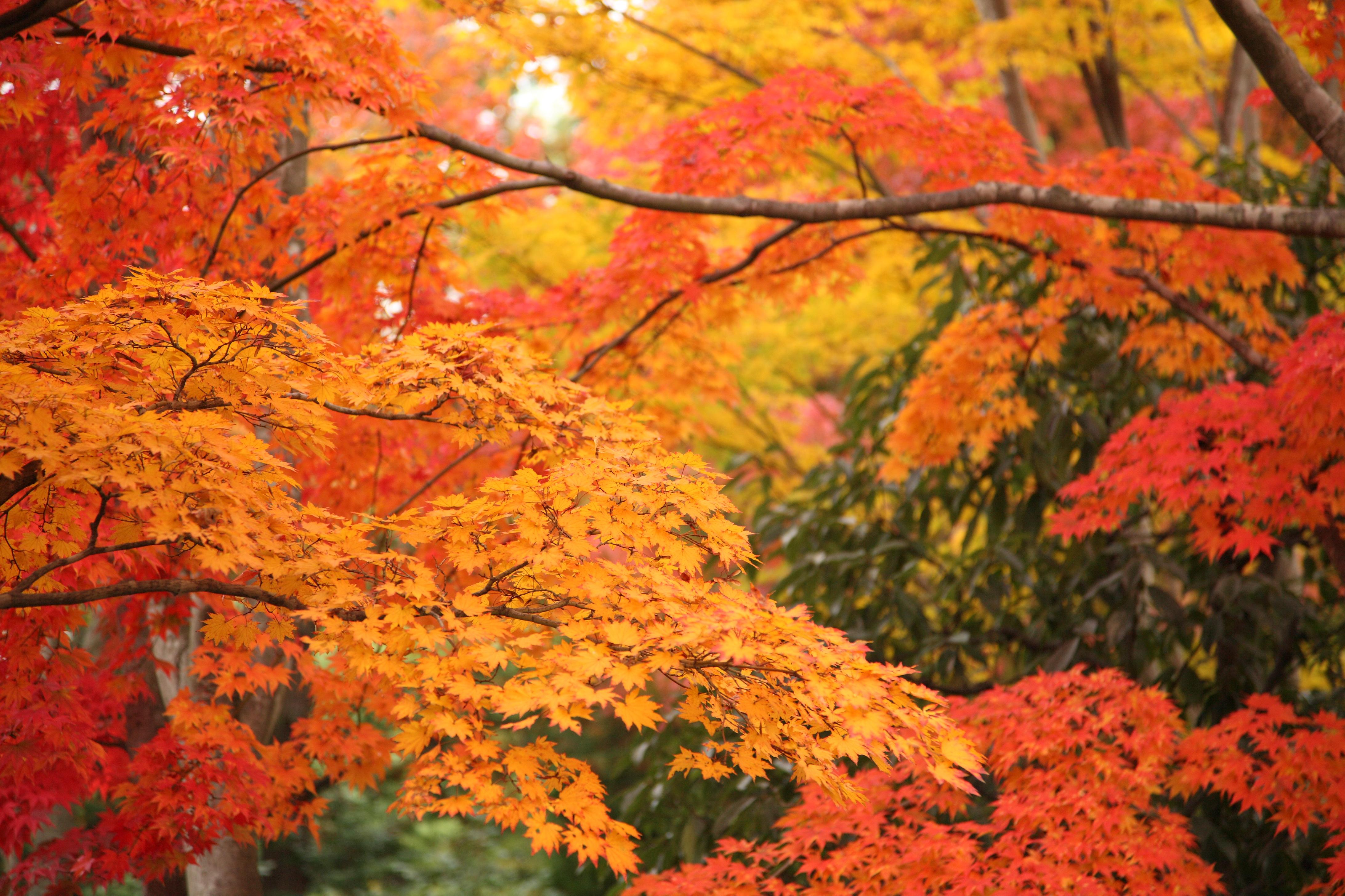 File:Colorful Leaves in Showa Kinen Park.jpg - Wikimedia Commons