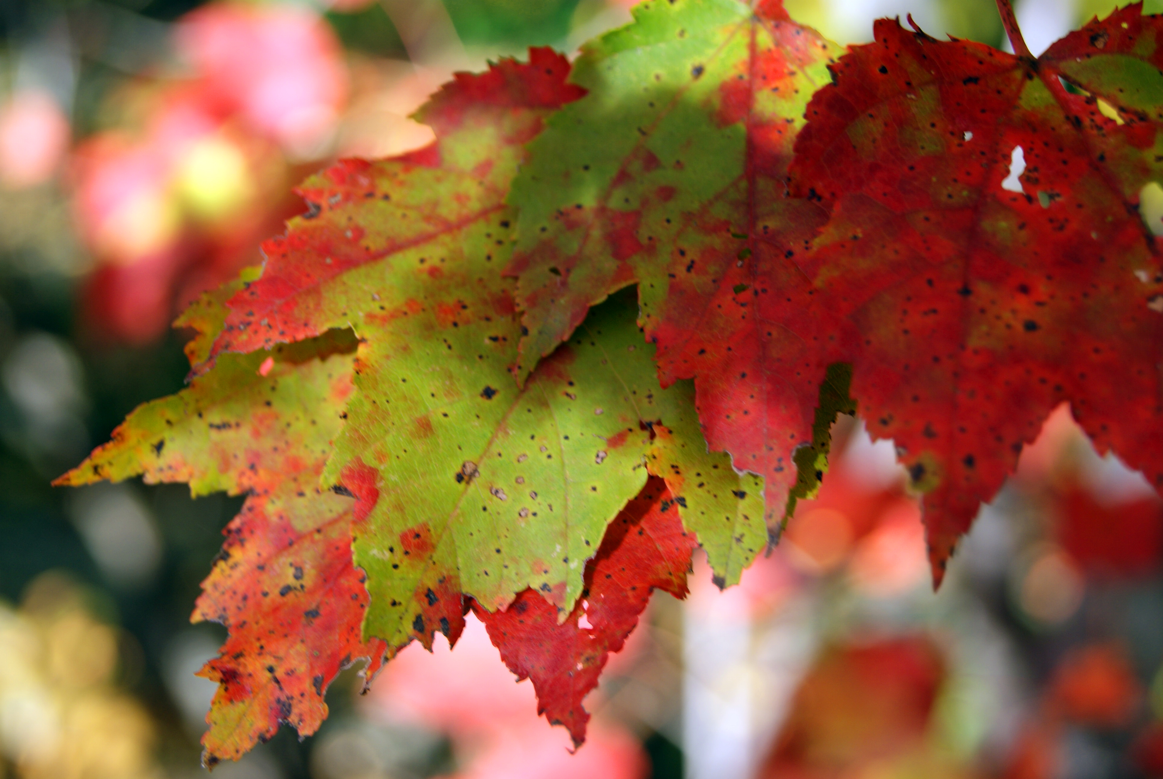 Colorful Leaves, Abstract, Outdoors, Macro, Maple, HQ Photo