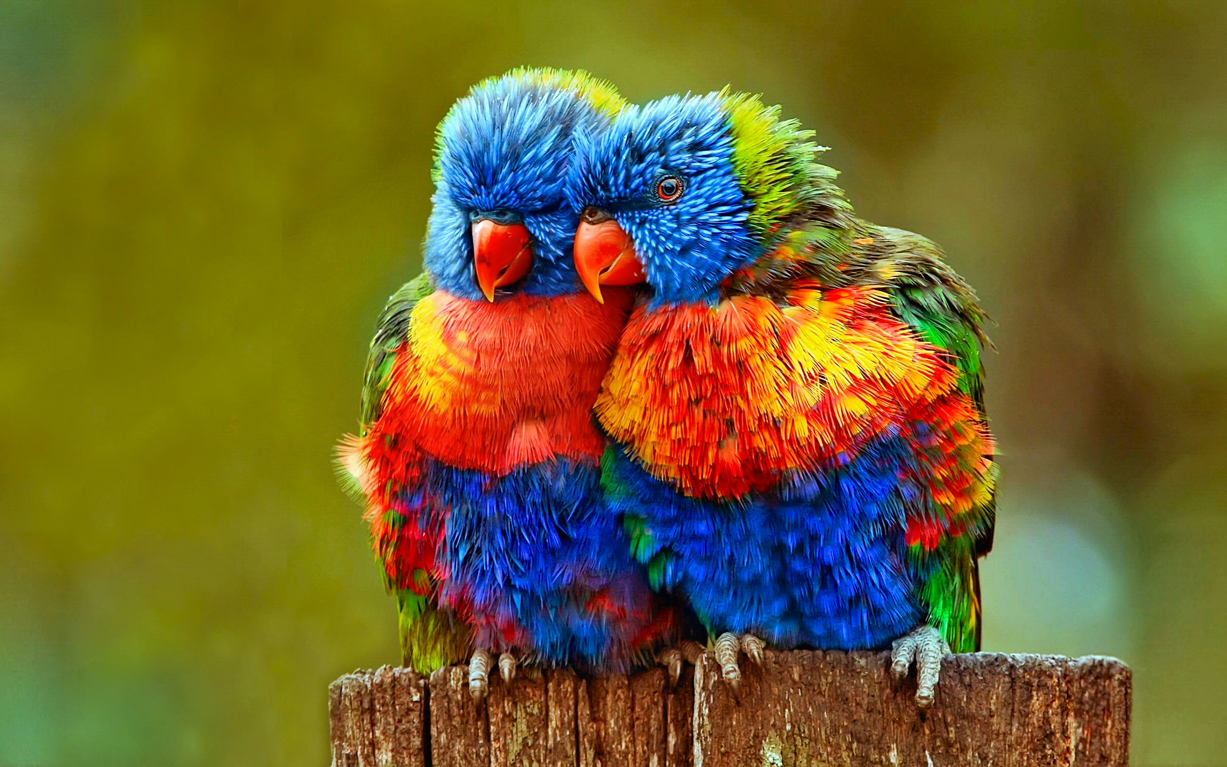 Lorikeet photo