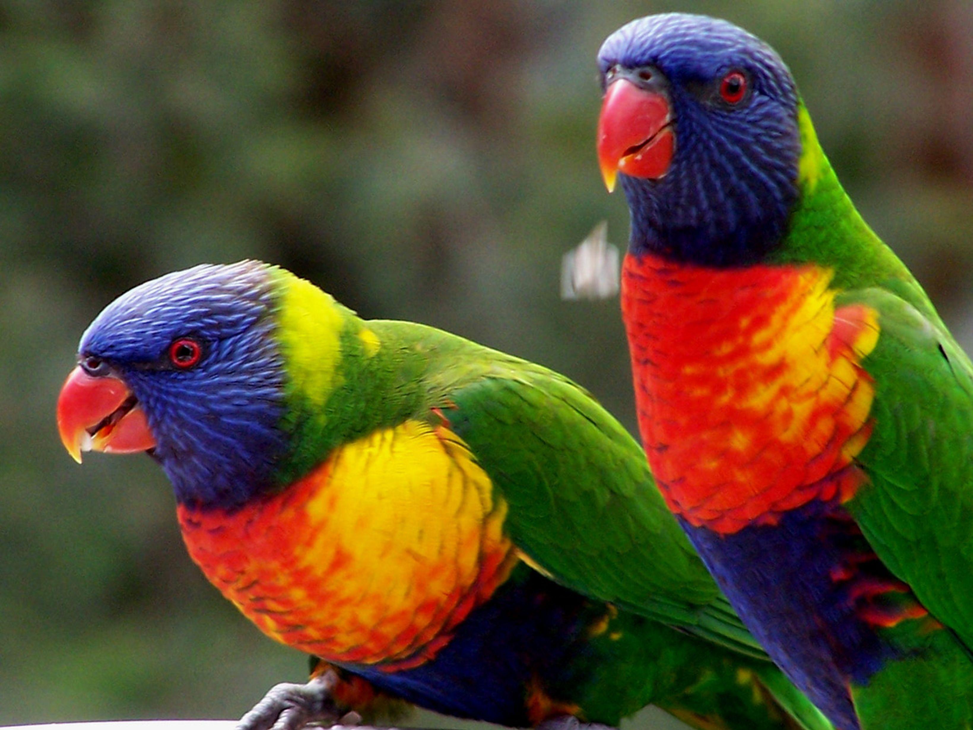 Rainbow Lorikeet   Reptile & Amphibian Discovery Zoo