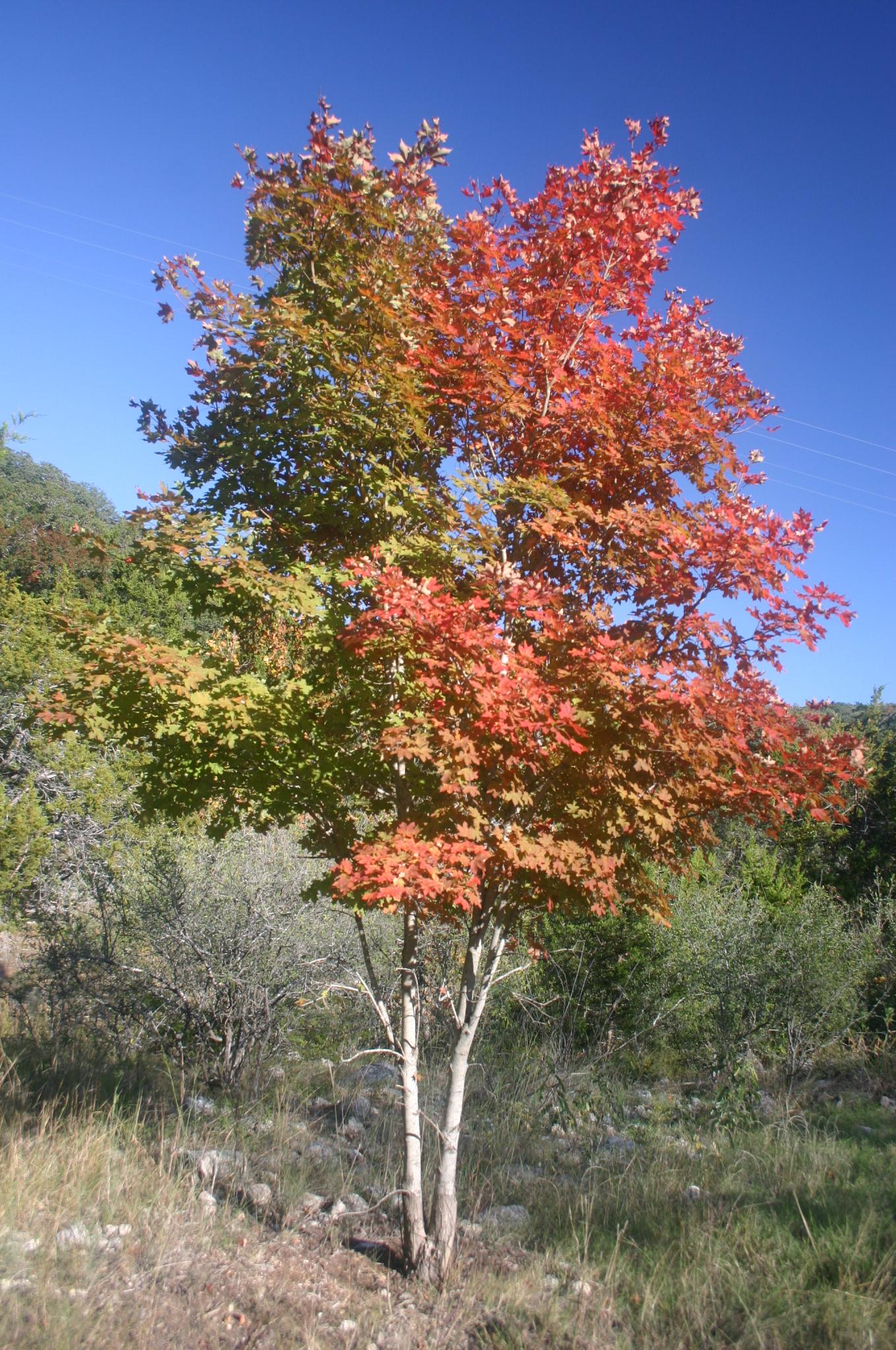 File:Bi-colored Maple Tree.jpg - Wikimedia Commons