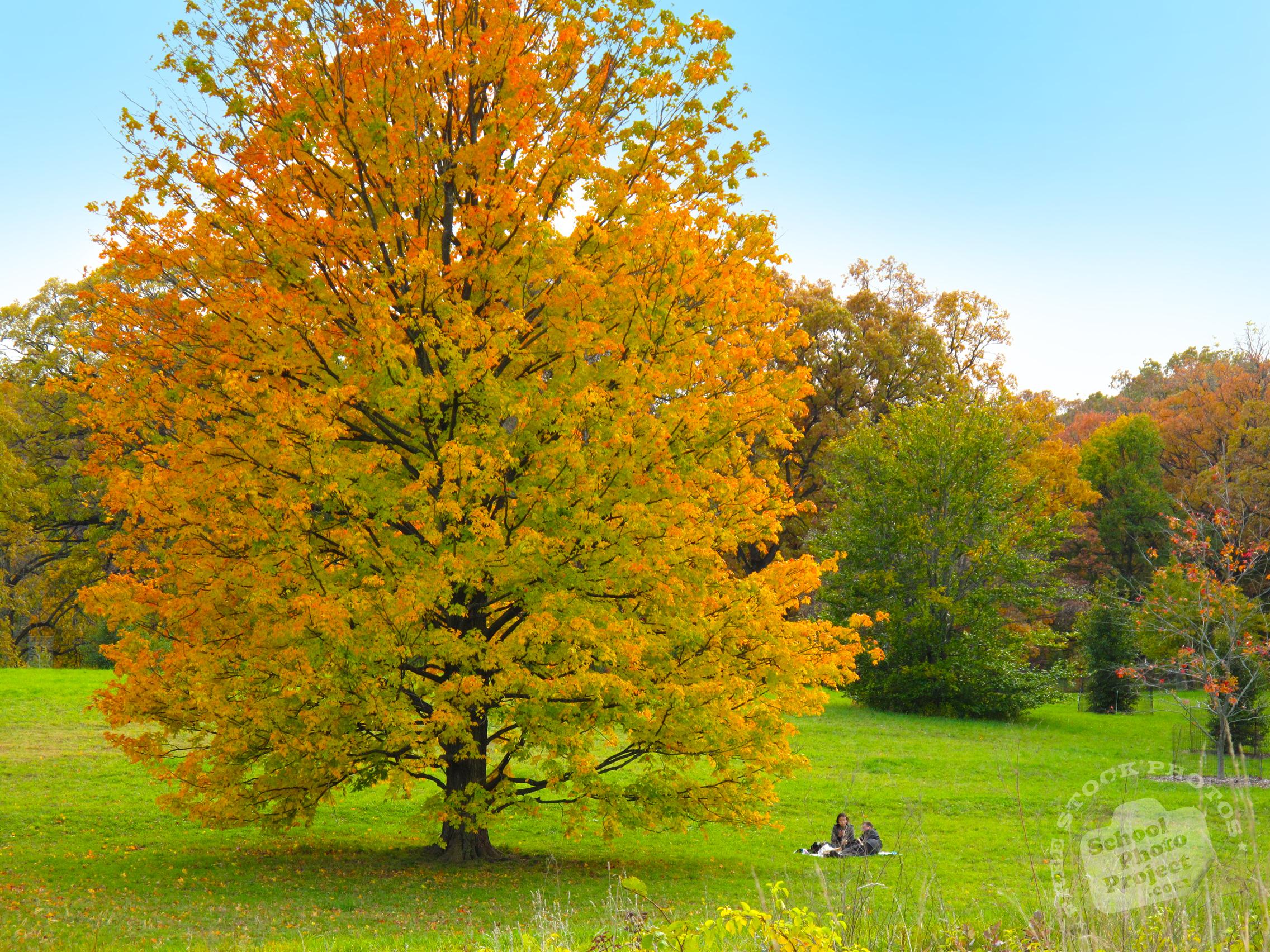 FREE Colorful Maple Tree Photo, Fall Foliage Picture, Autumn ...