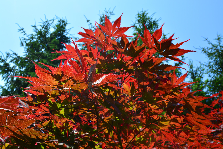 Colorful maple tree, Autumn, October, Turning, Tree, HQ Photo