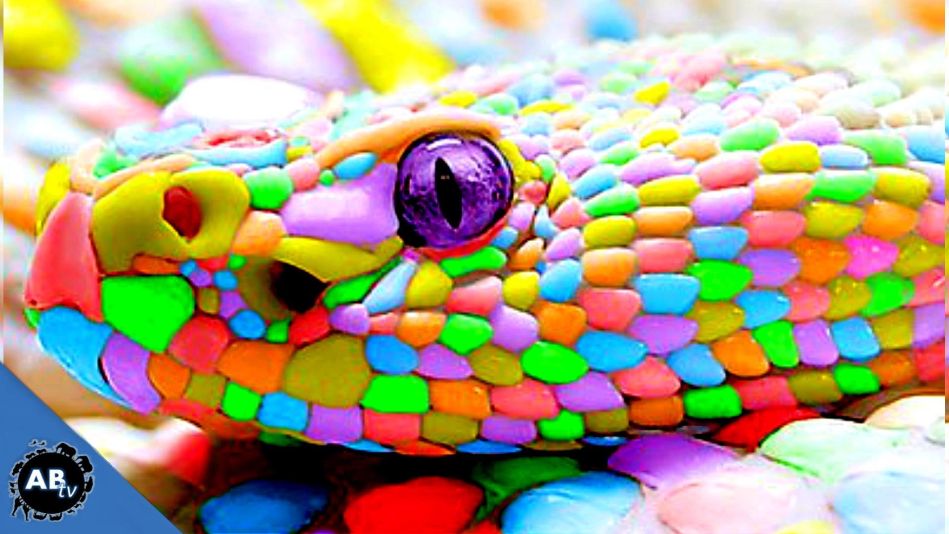 Colorful Giant Snakes! SnakeBytesTV Ep. 413 : AnimalBytesTV - YouTube