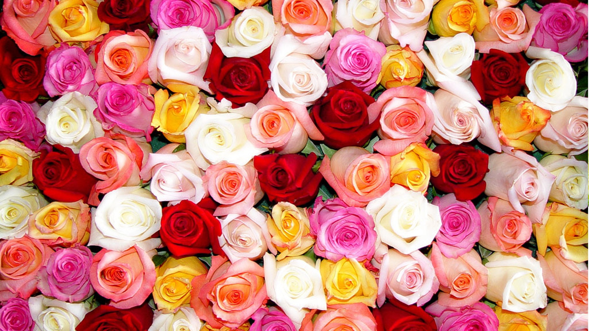 Free photo: Colorful roses wallpaper - rose, plants, roses - Non ...