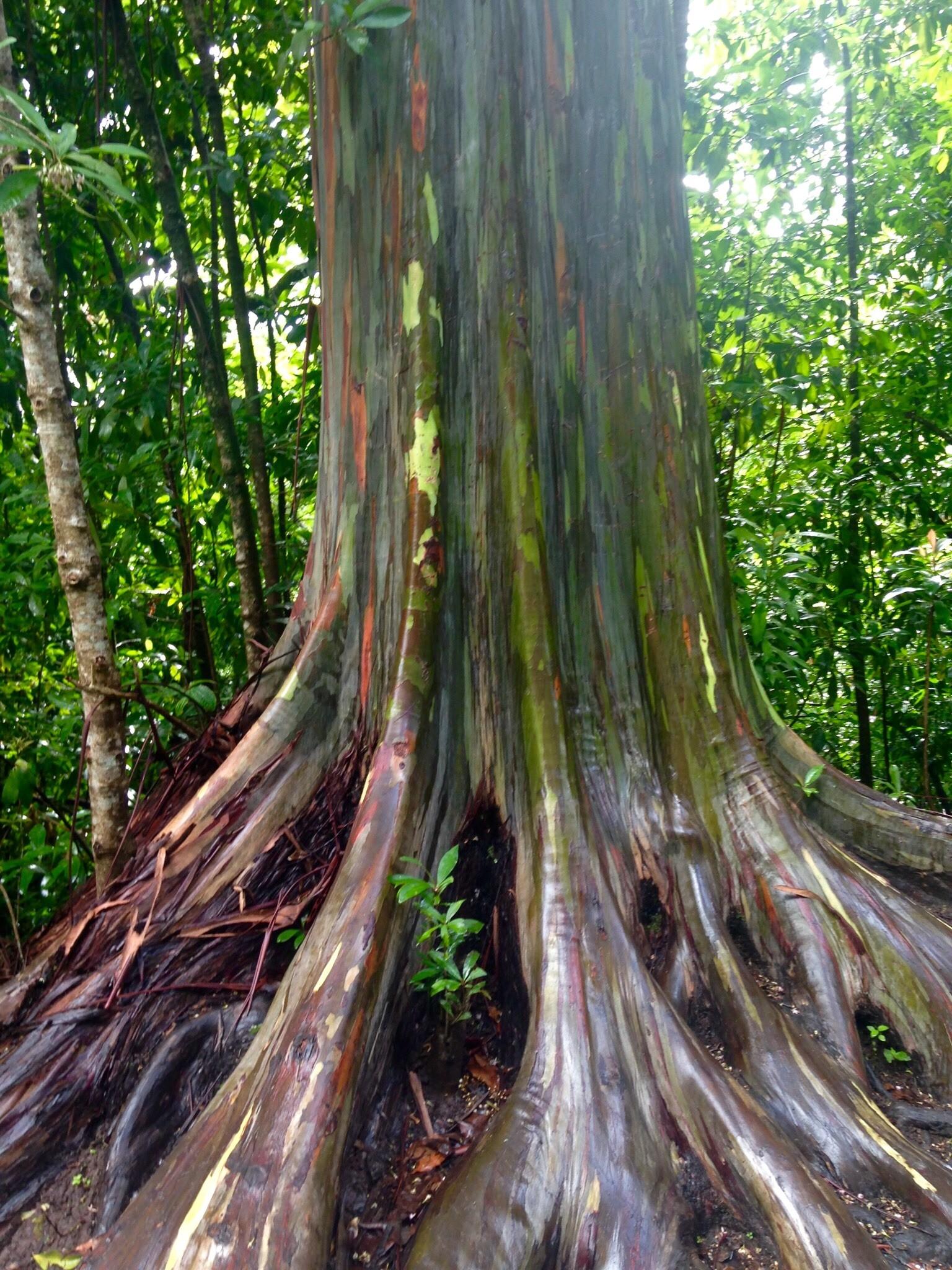 Rainbow Eucalyptus Tree | See Rainbow Trees On Maui Tour