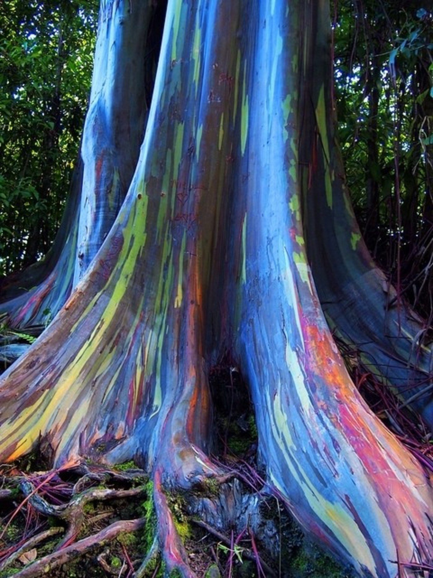 Rainbow Eucalyptus Trees, Maui, Hawaii, USA by Myla Kent • Findery