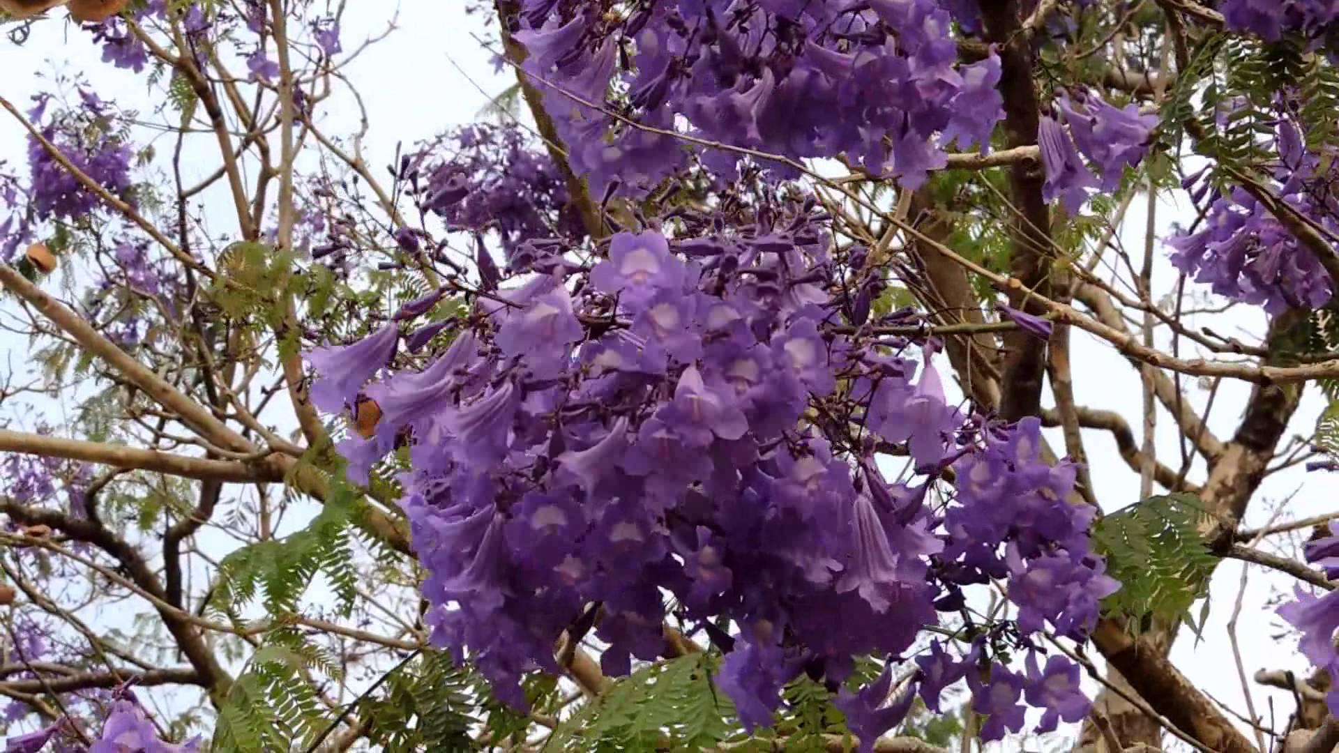 Flowering trees, Jacaranda mimosaefolia, colors of nature, nature ...