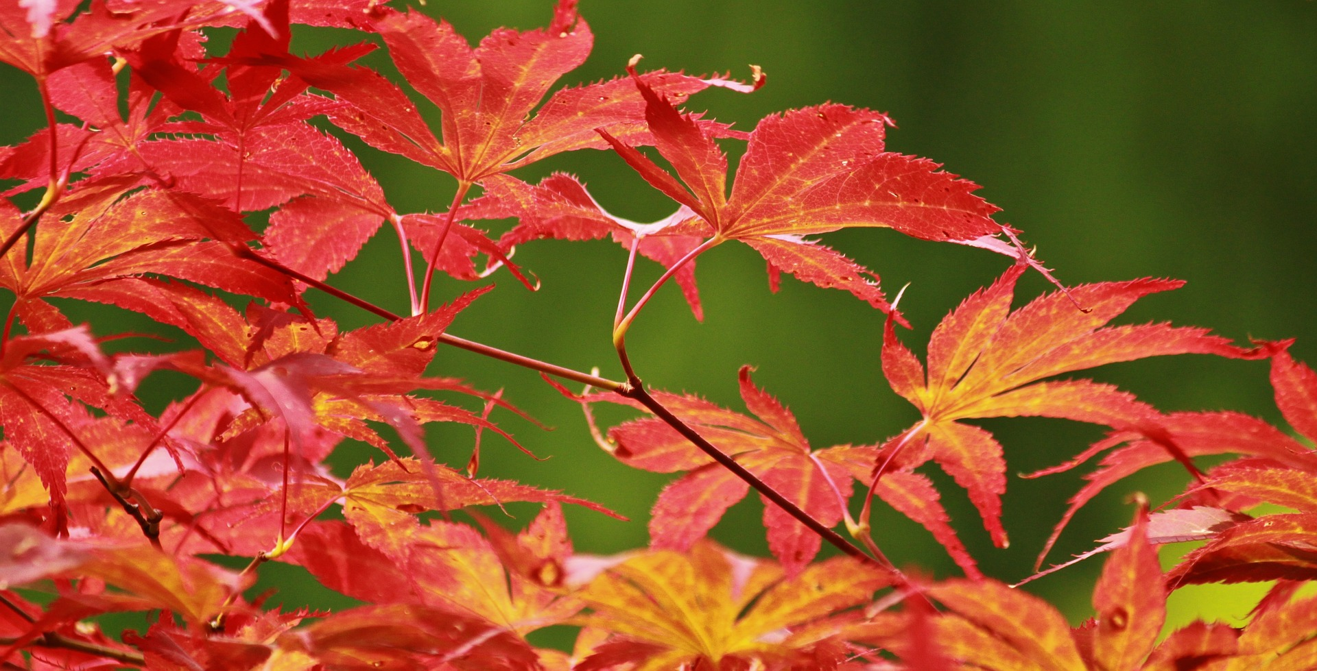 Colors of Nature, Leaf, Maple, Plant, Red, HQ Photo