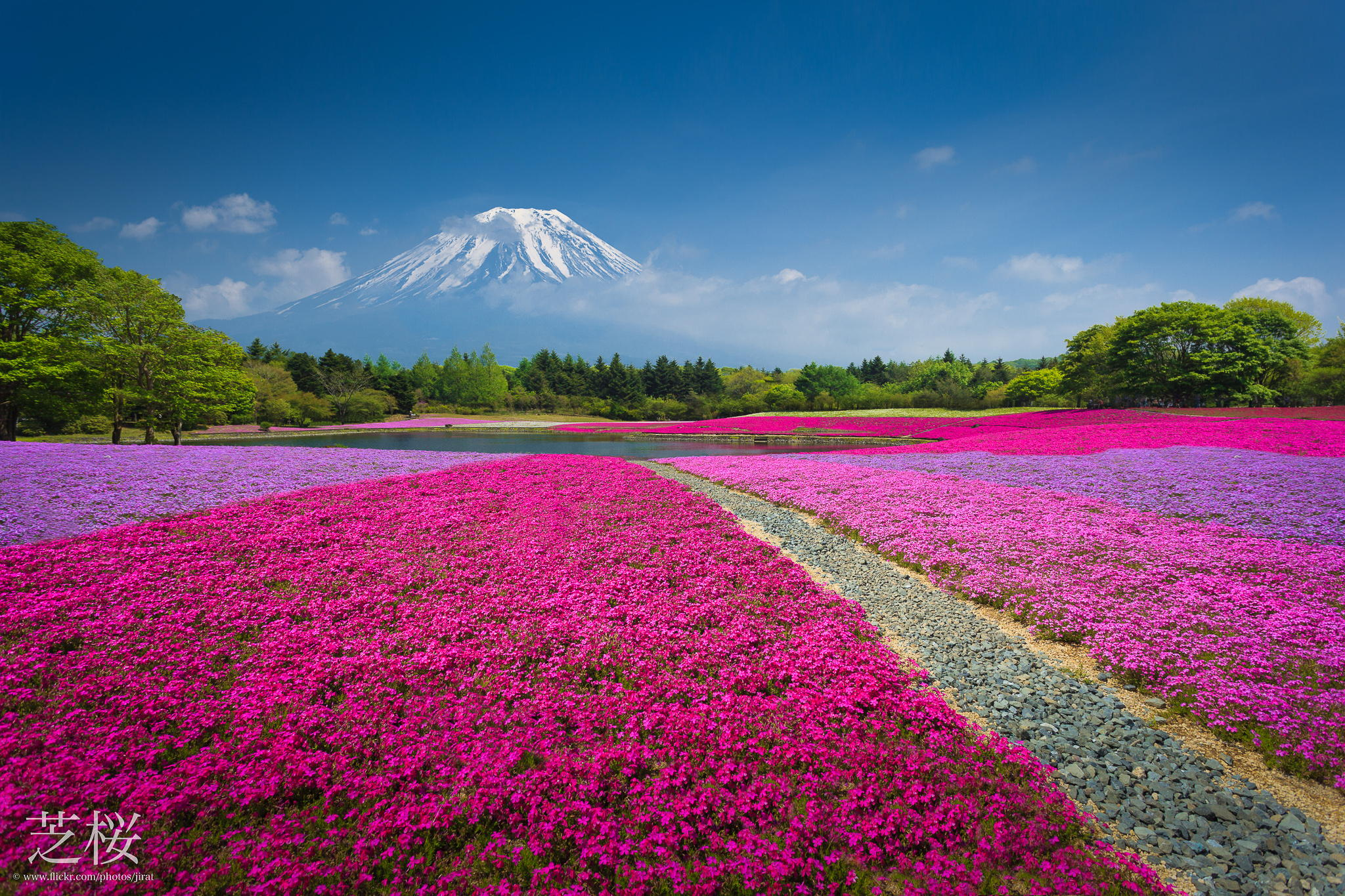 Fuji Shibazakura festival.. Colors of Nature | Photography| Travel ...