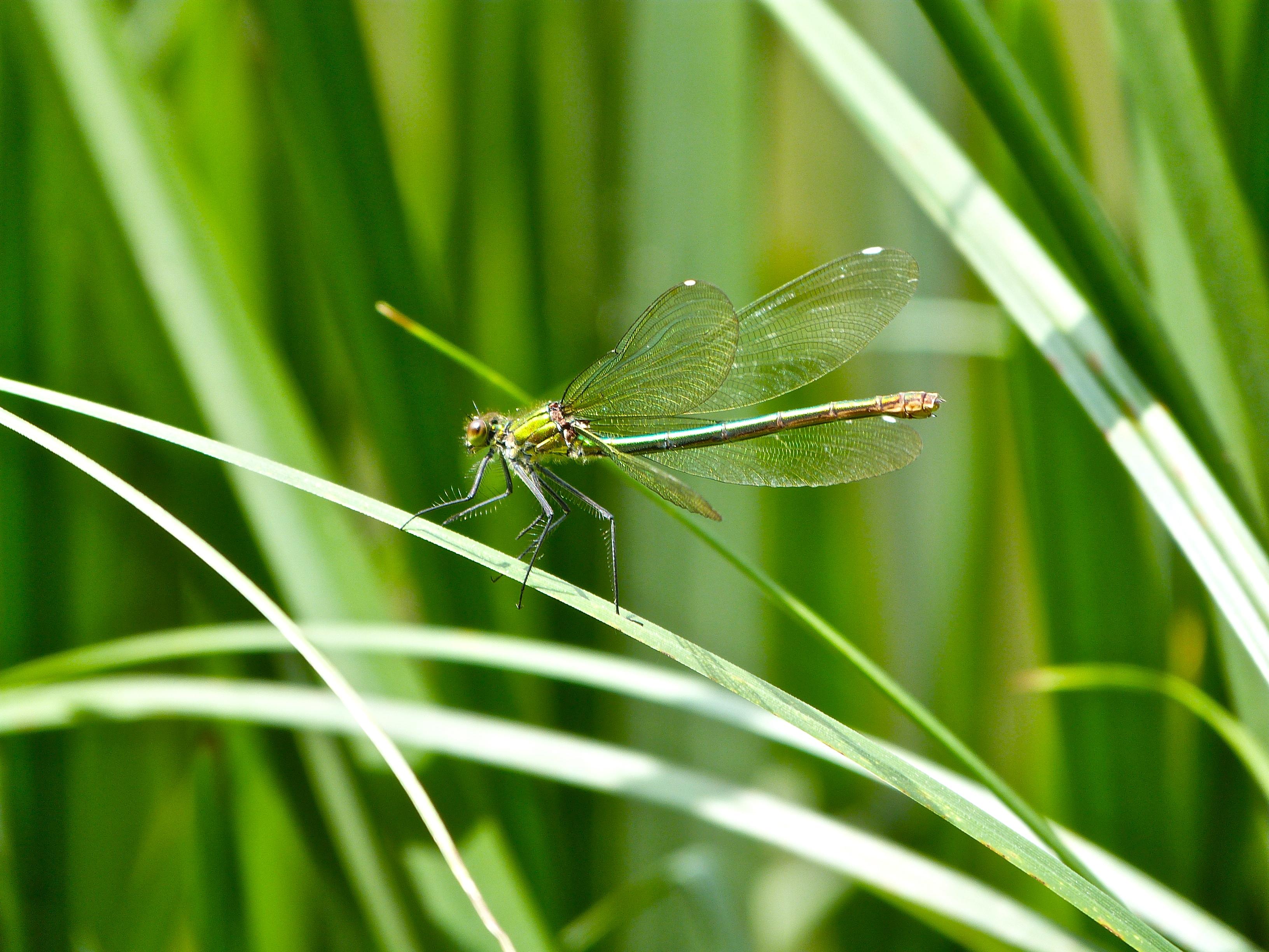Common green darner photo