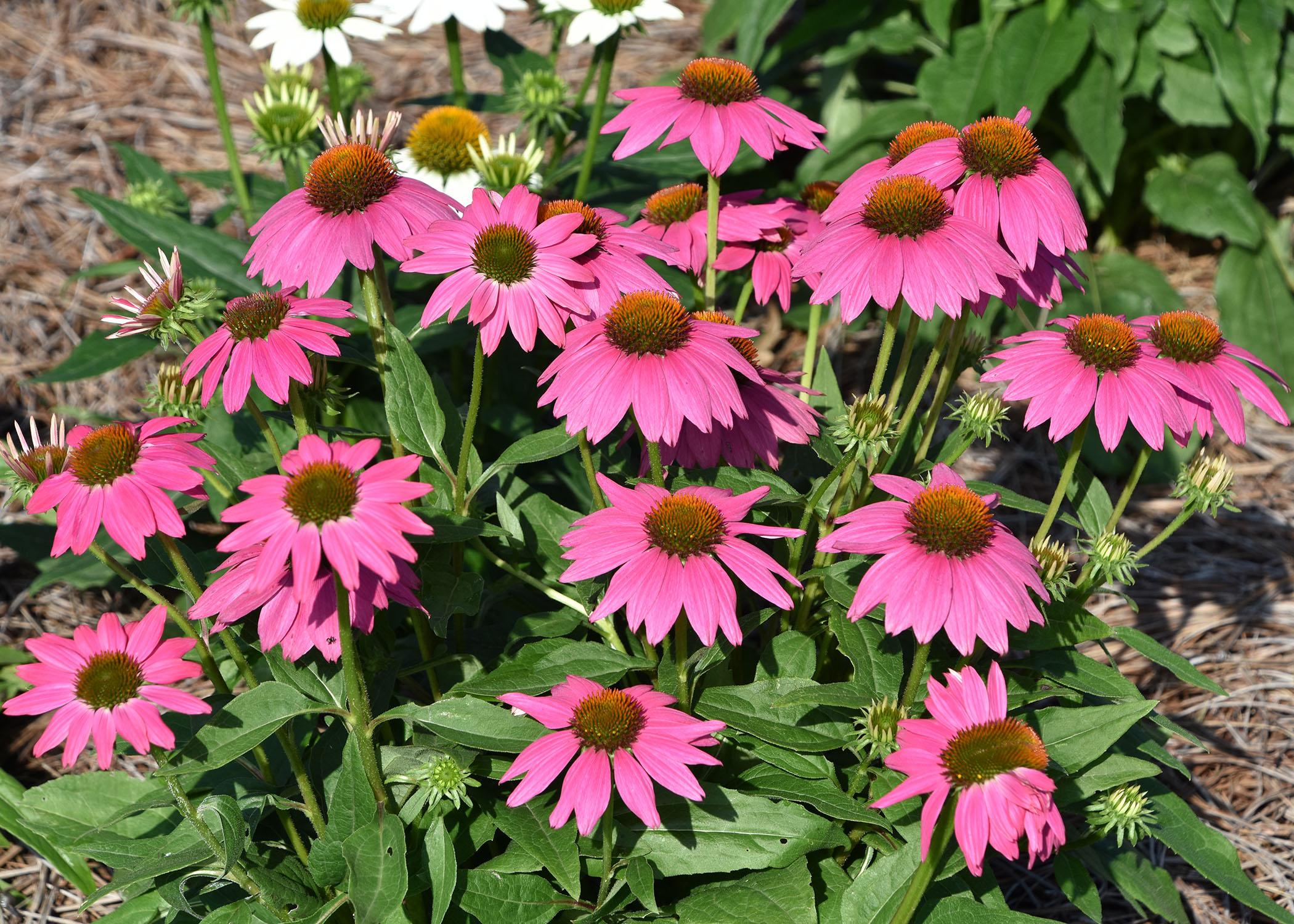 Pink coneflower photo