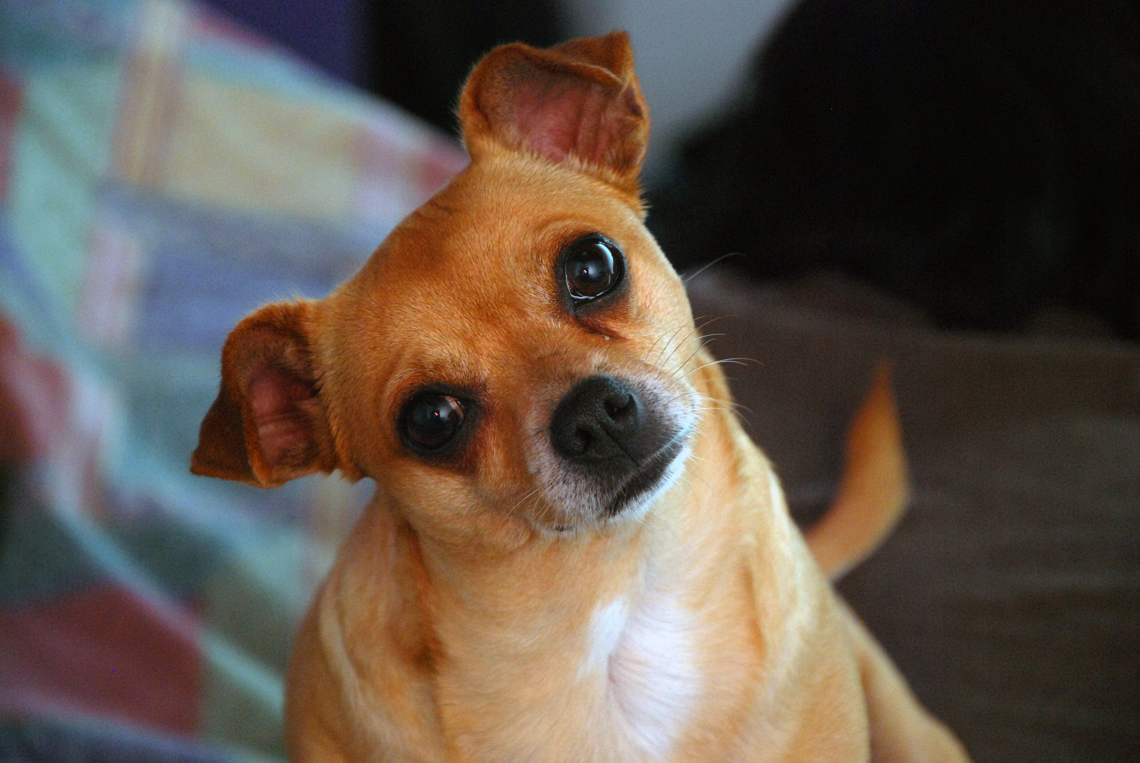 Confused dog, Chihuahua, Dog, Little, Pet, HQ Photo