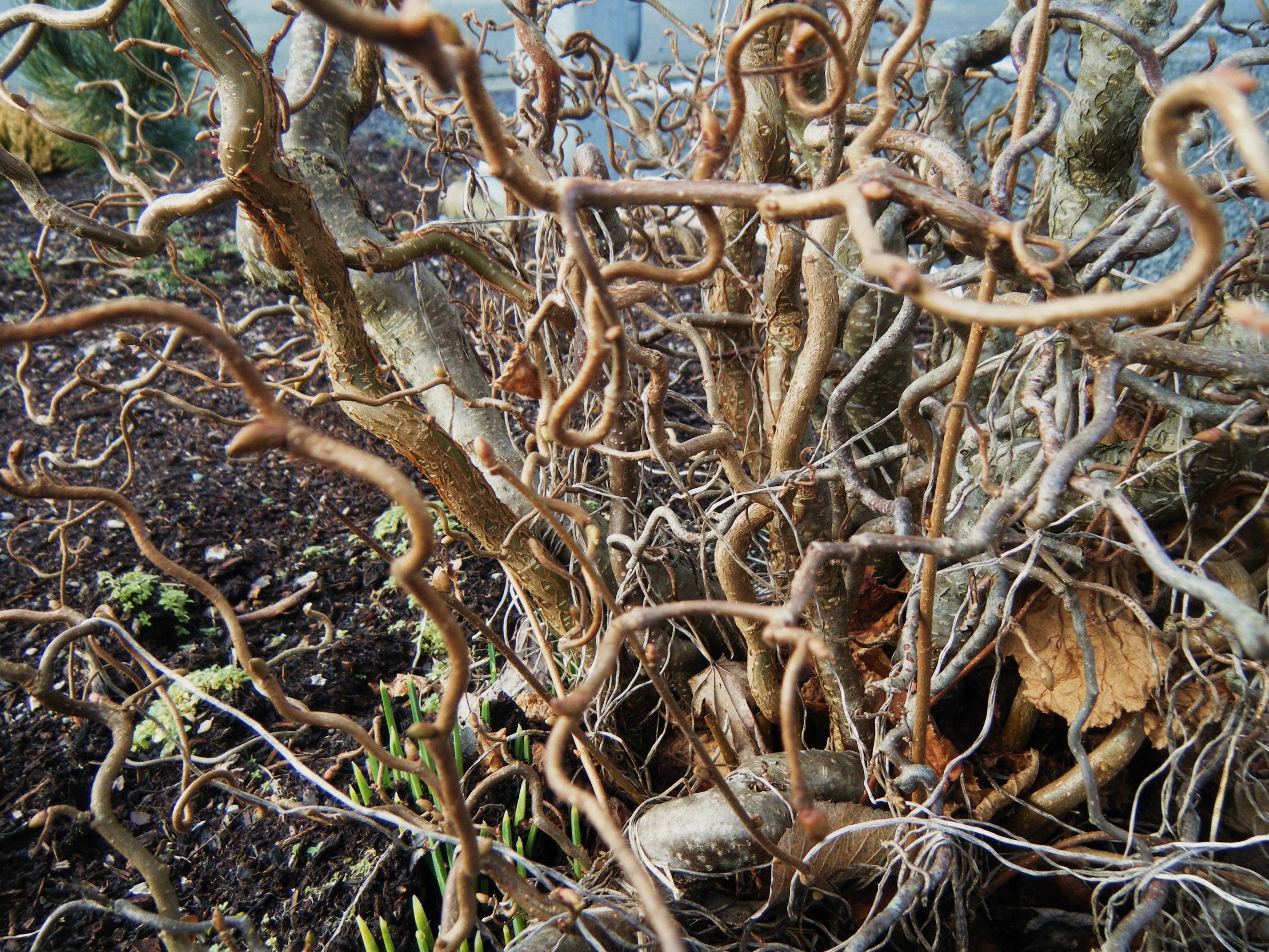 Corylus avellana 'Contorta' – Contorted Hazel | Hortophile – My New ...