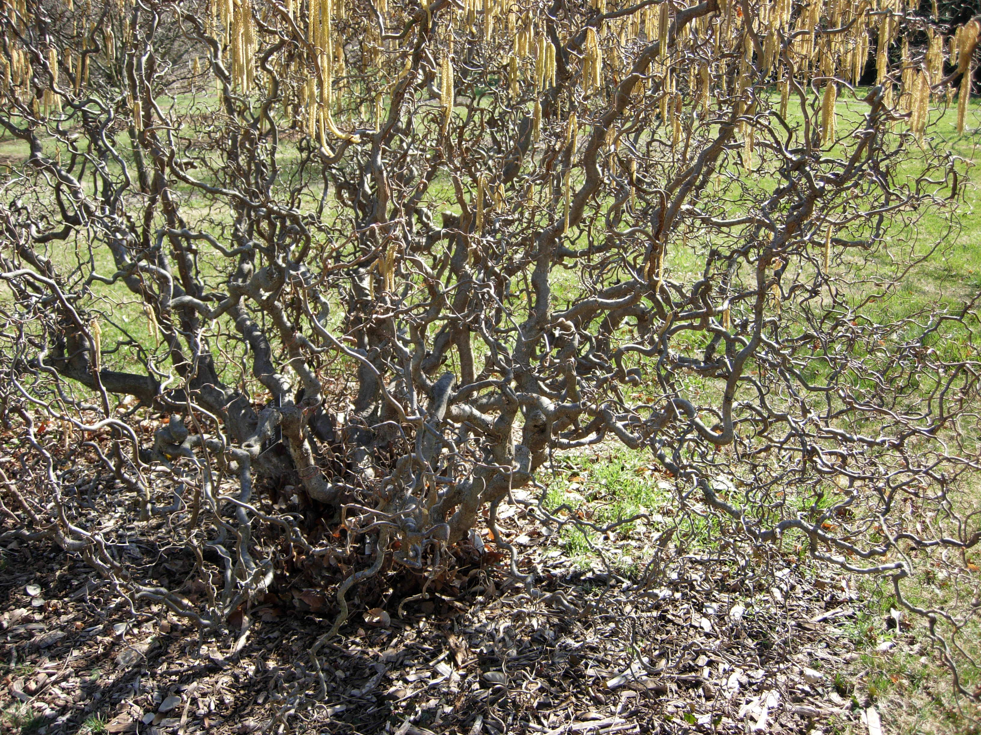 Contorted Filbert Trees: Tips On Caring For A Contorted Hazelnut Tree