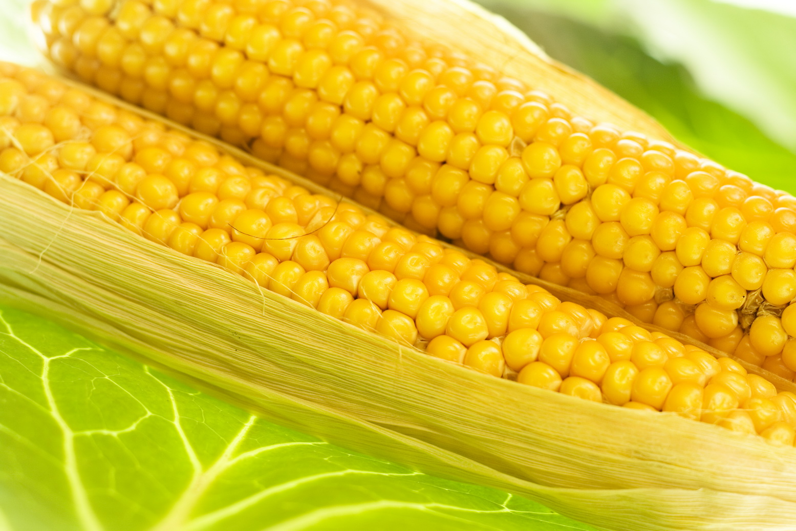 corn, Corn images, Crop, Freshly, Harvested, HQ Photo