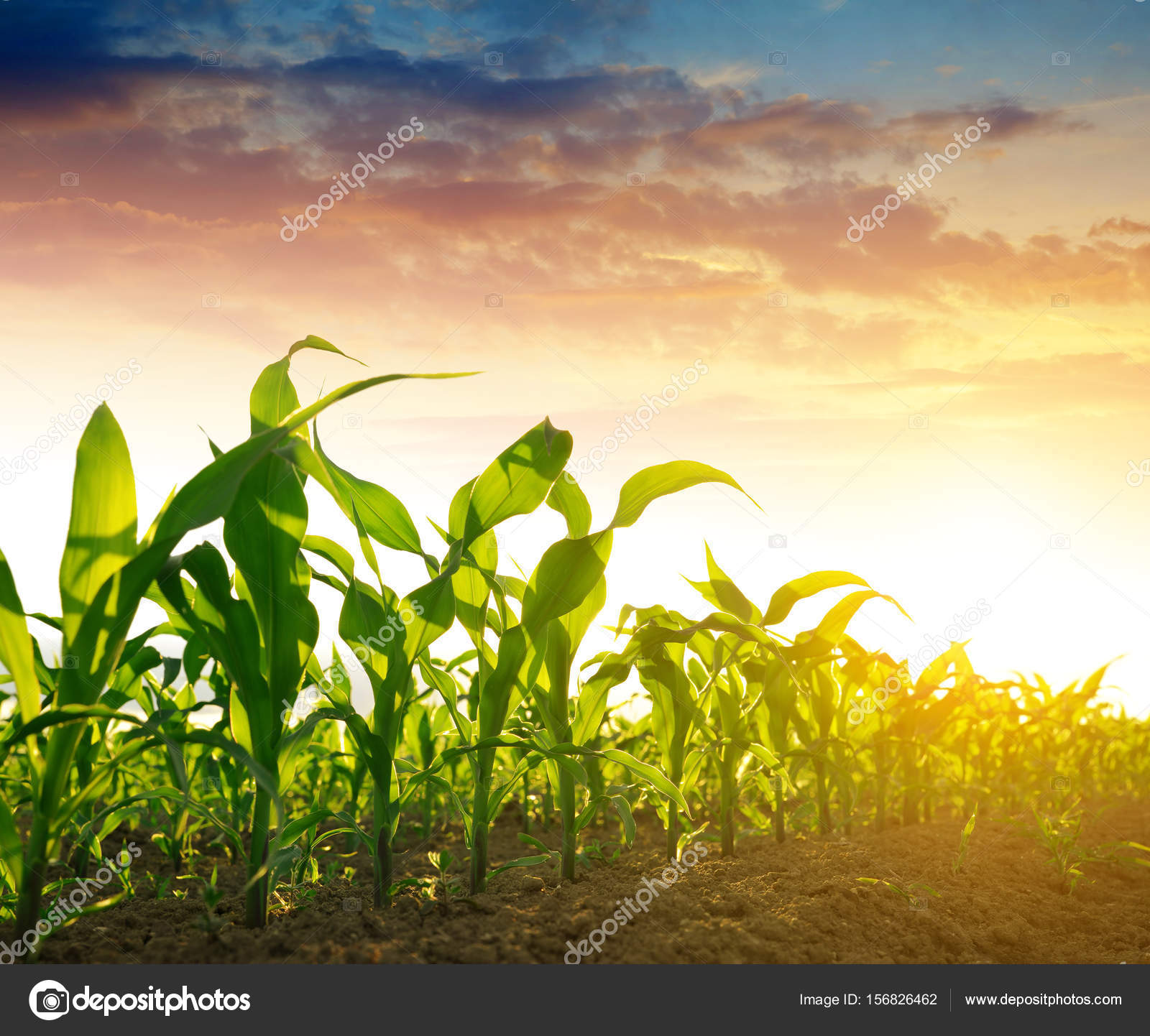 Green corn field — Stock Photo © vencav #156826462