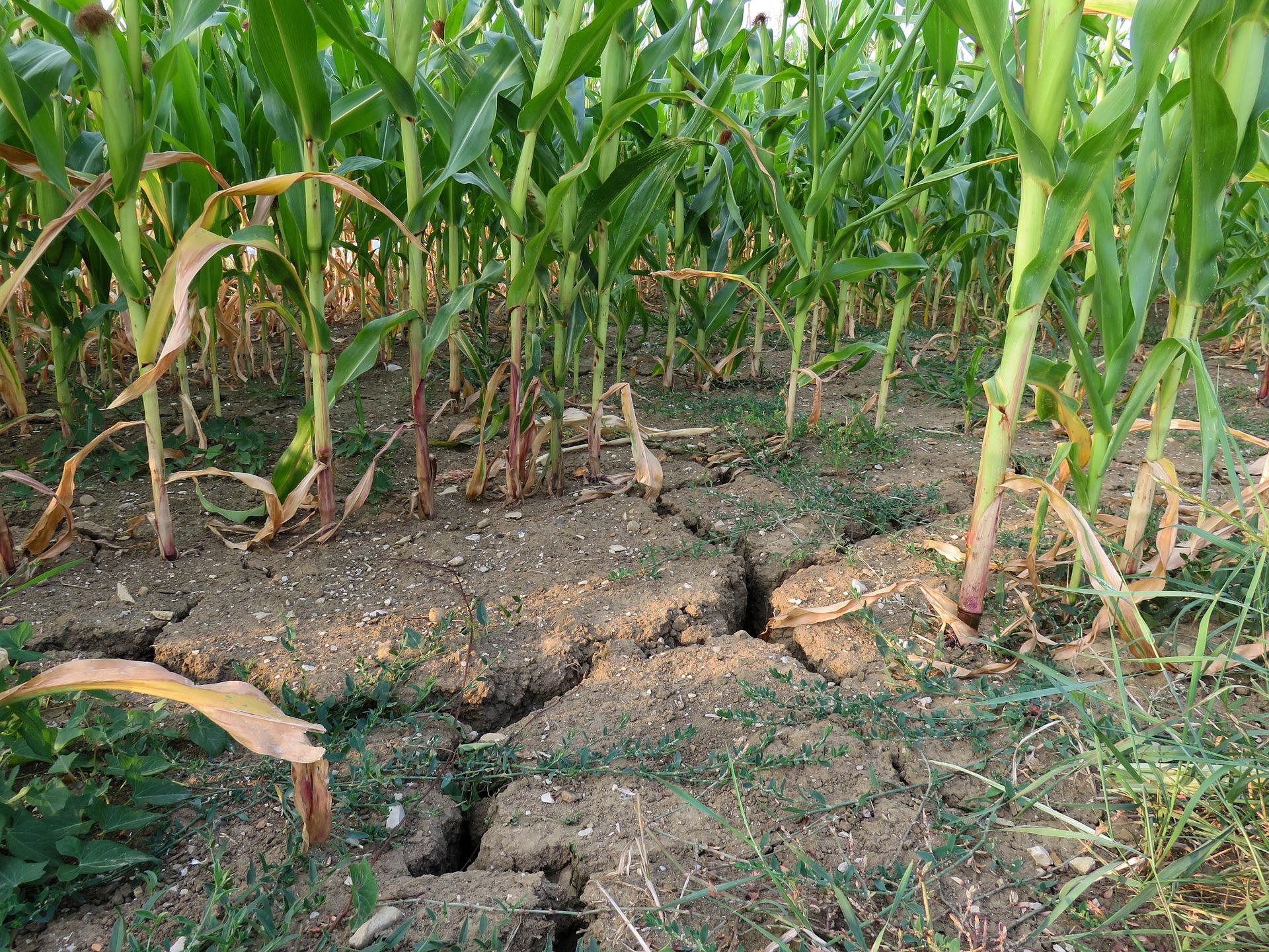 Corn Field, Green, Fresh, Field, Crop, HQ Photo