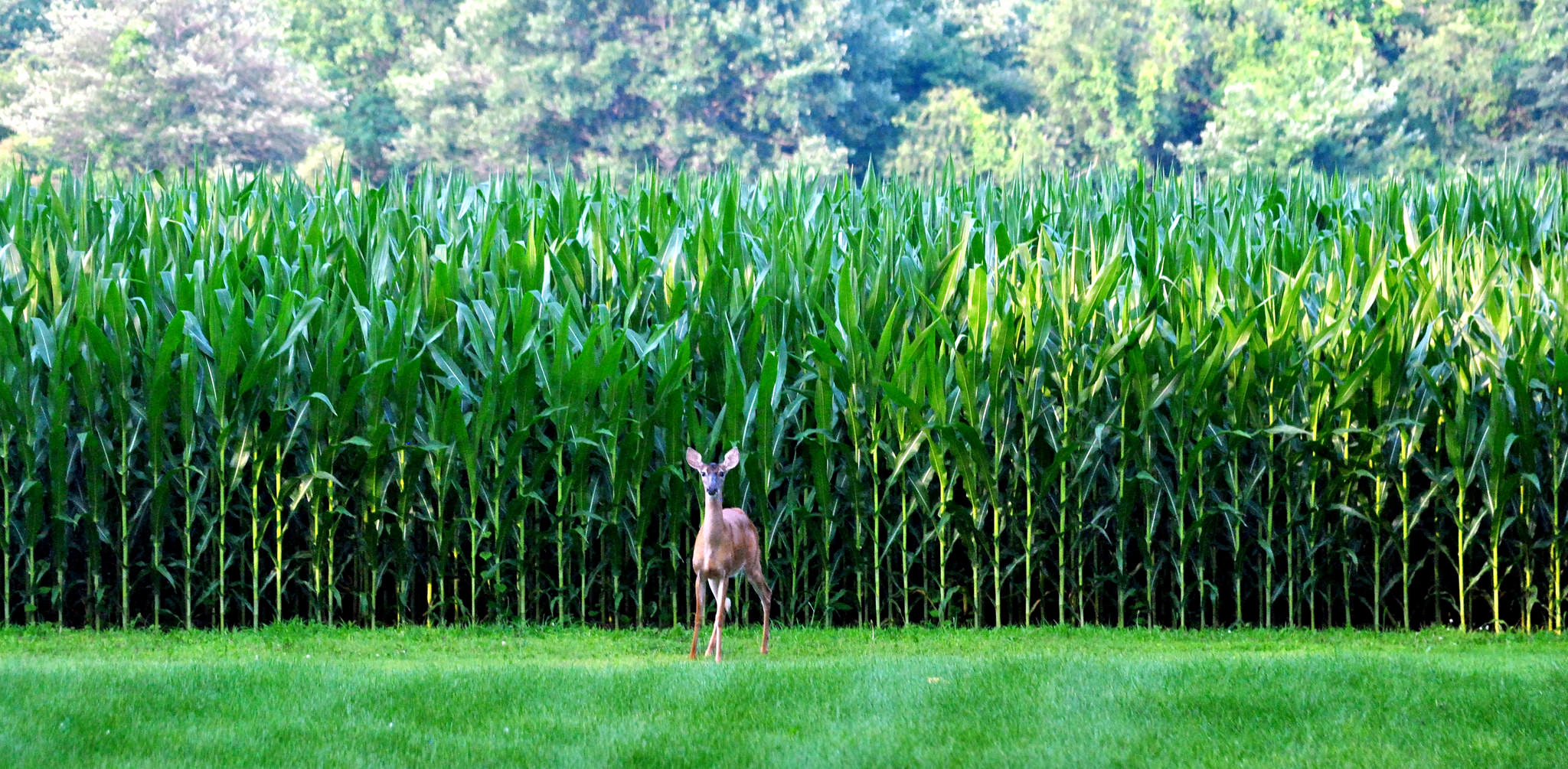 july corn field chester county | chestercountyramblings