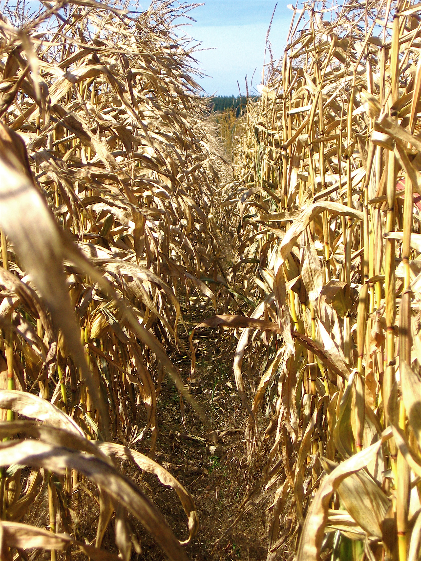 Corn Field, Corn, Crops, Dry, Field, HQ Photo