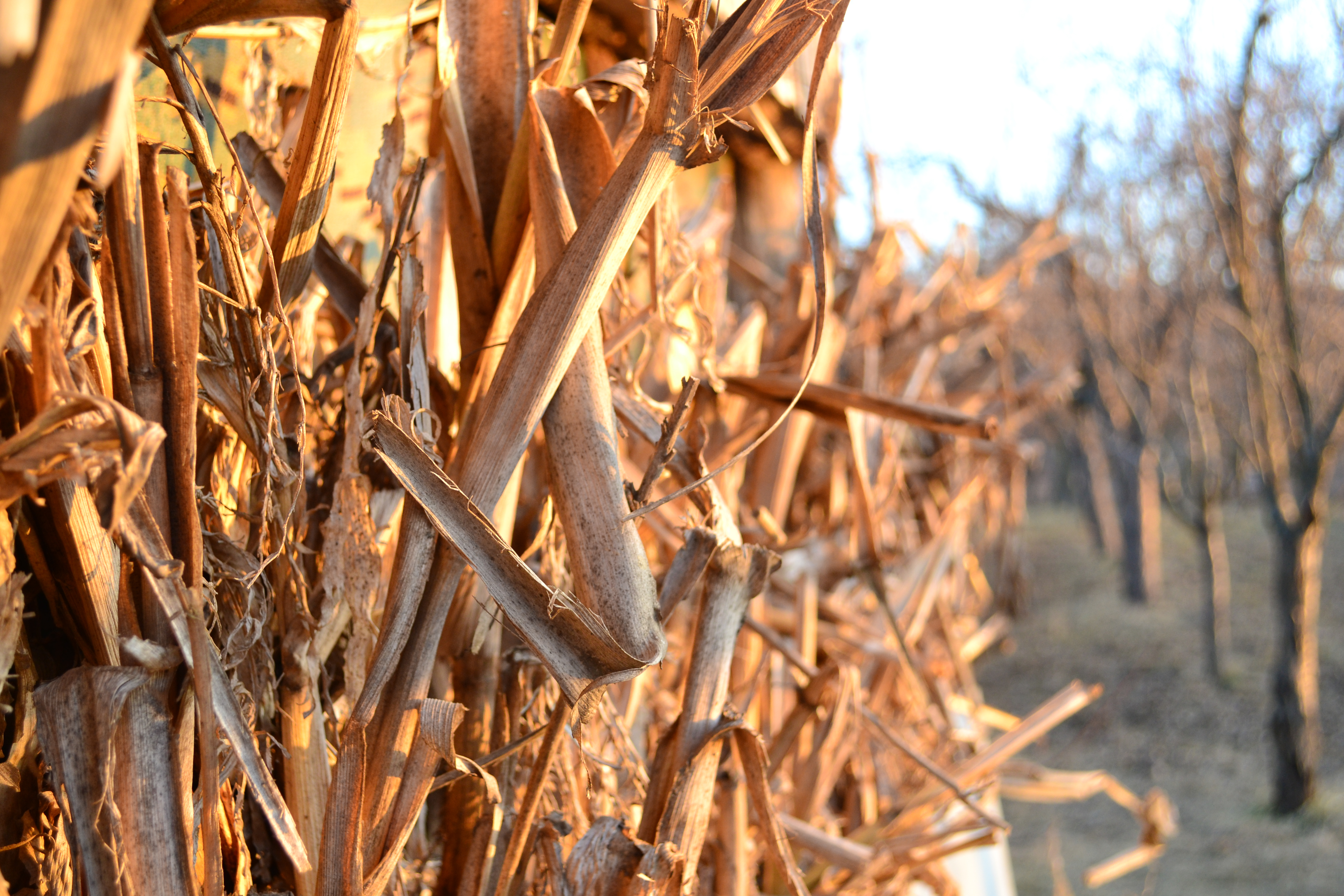 Country life, Corn, Dry, Field, Trees, HQ Photo