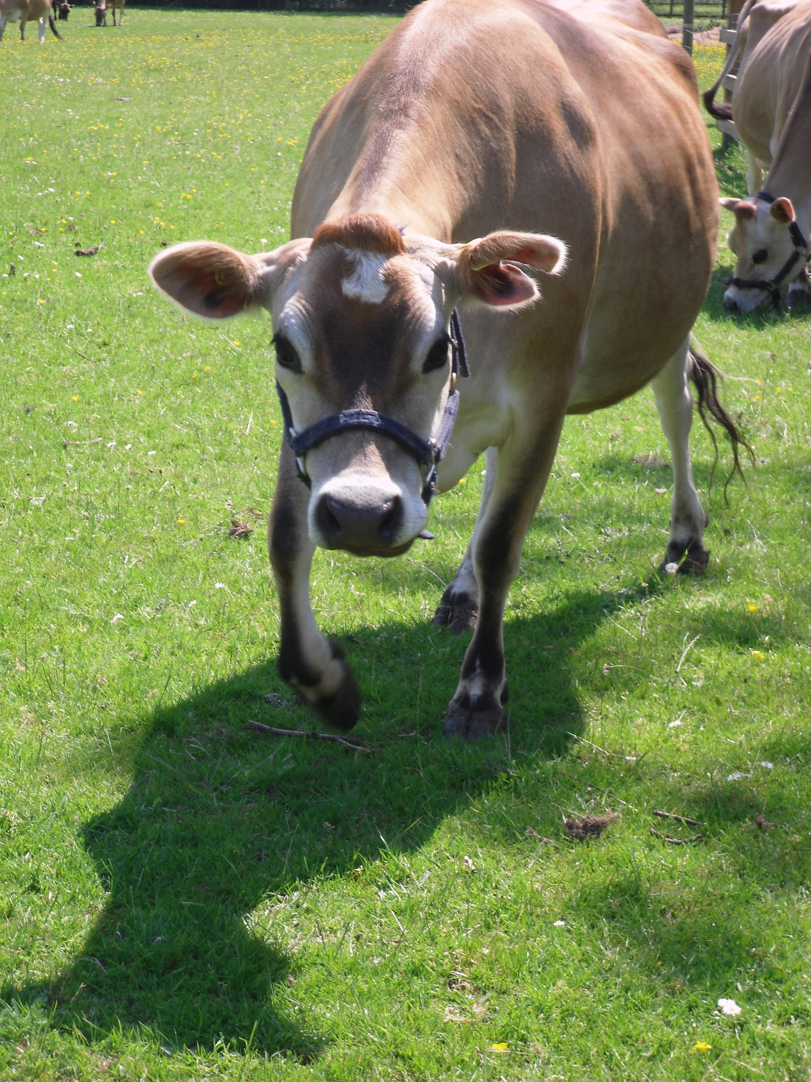 Cow, Grass, Farm, Cattle, Animal, HQ Photo