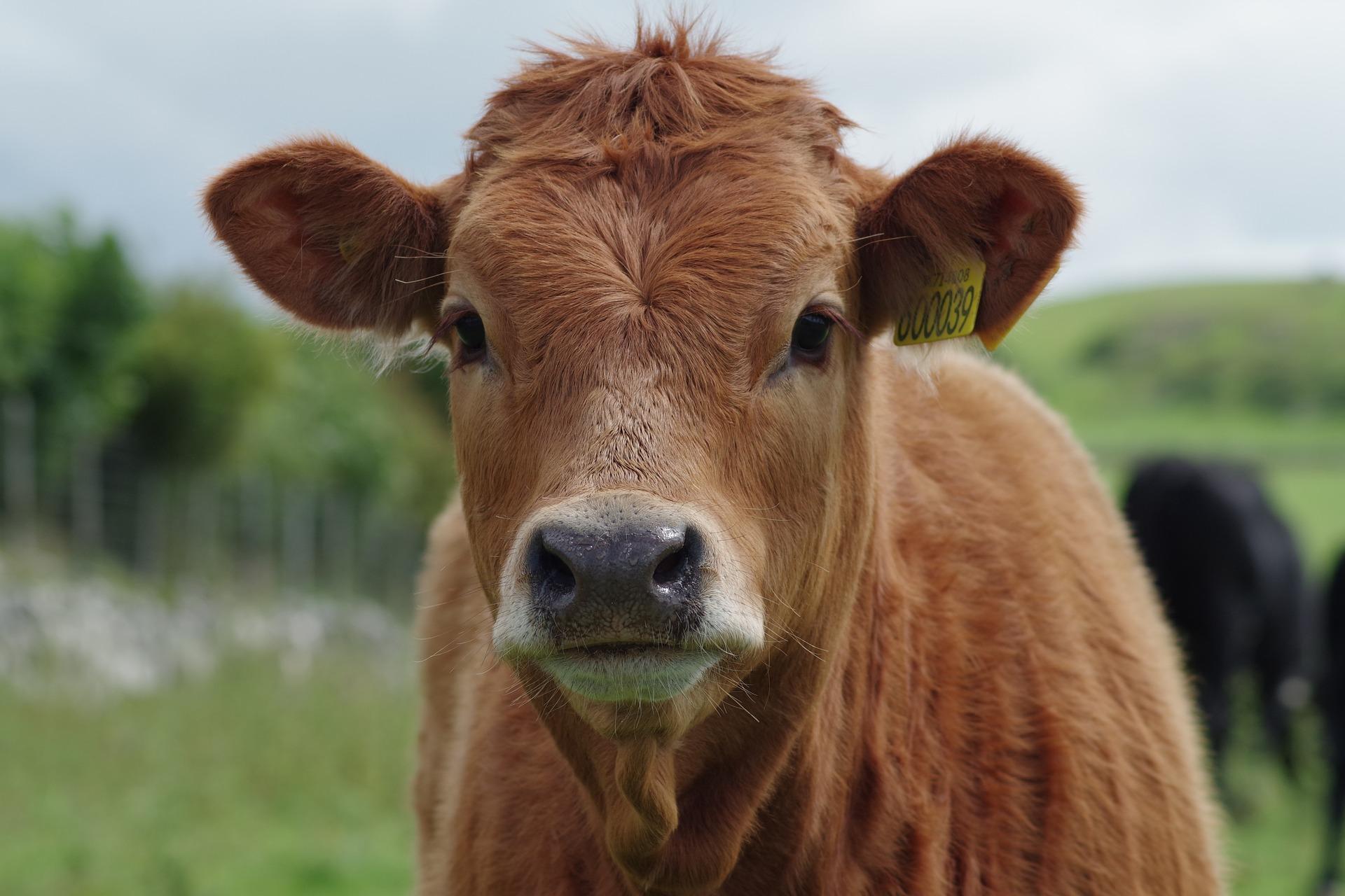 CRISPR Variant Produces Tuberculosis-Resistant Cows   GEN