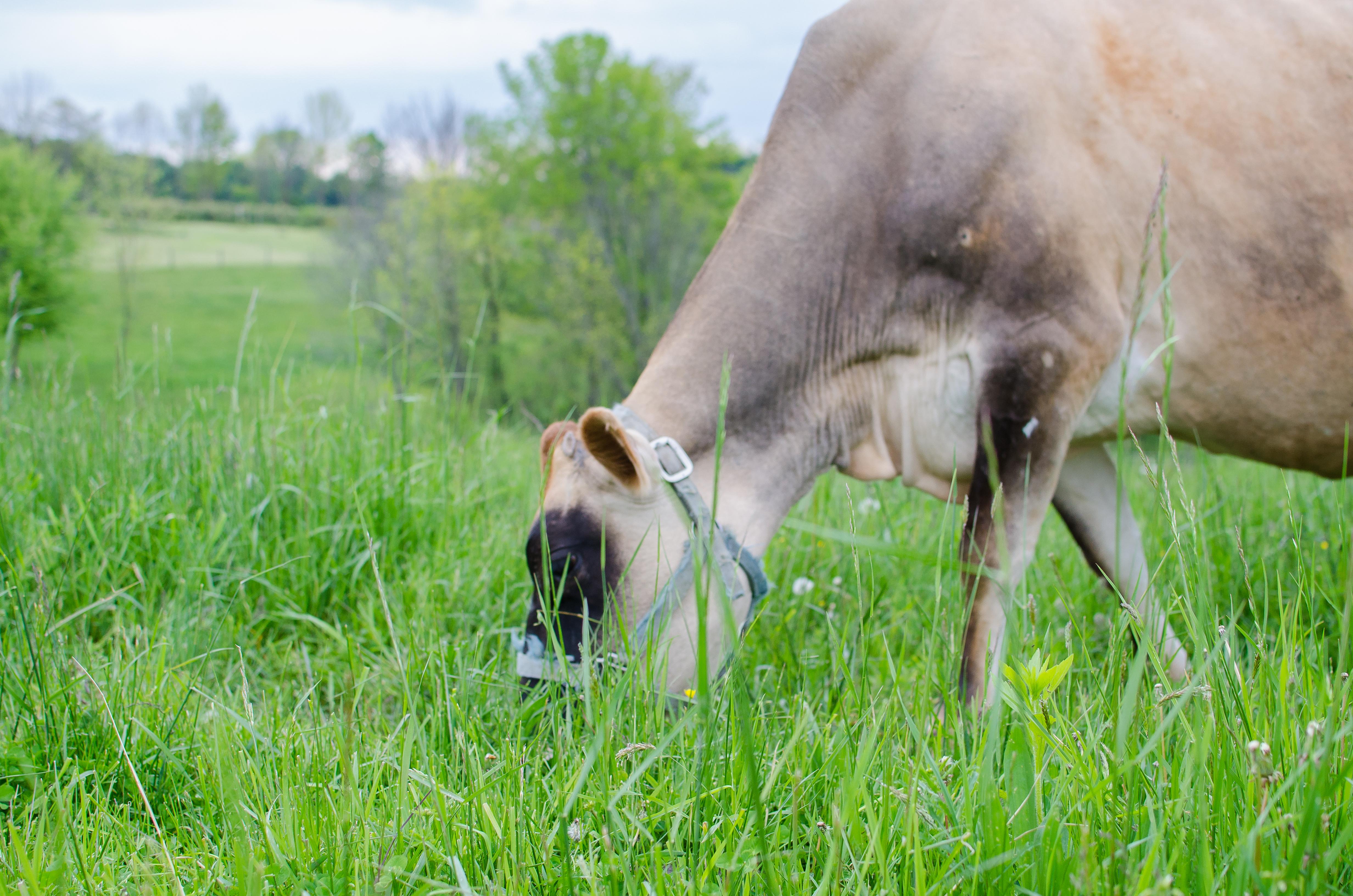 Family Milk Cow 101 - Homesteaders of America