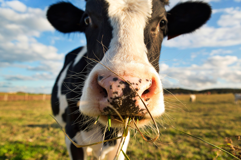 Why Do Farmers Call Cows