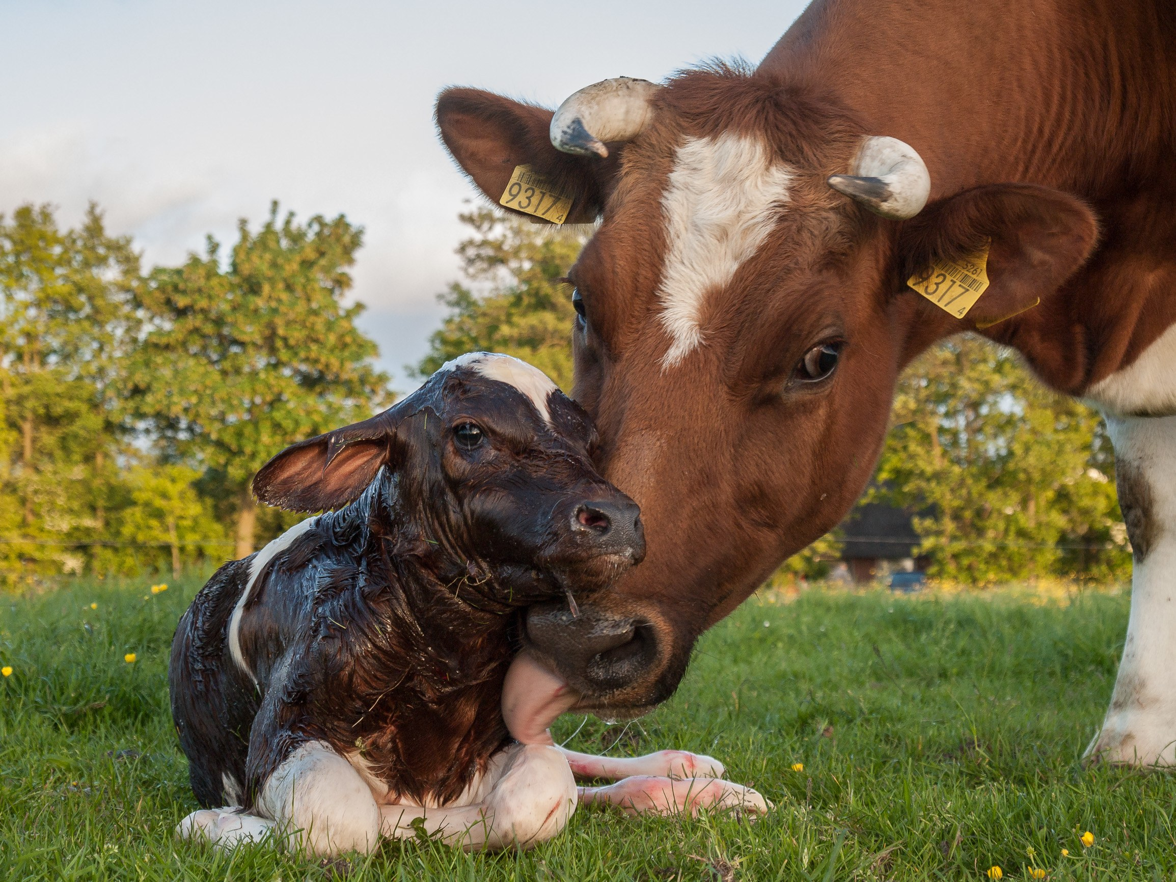 The Emotional Lives of Dairy Cows | WIRED