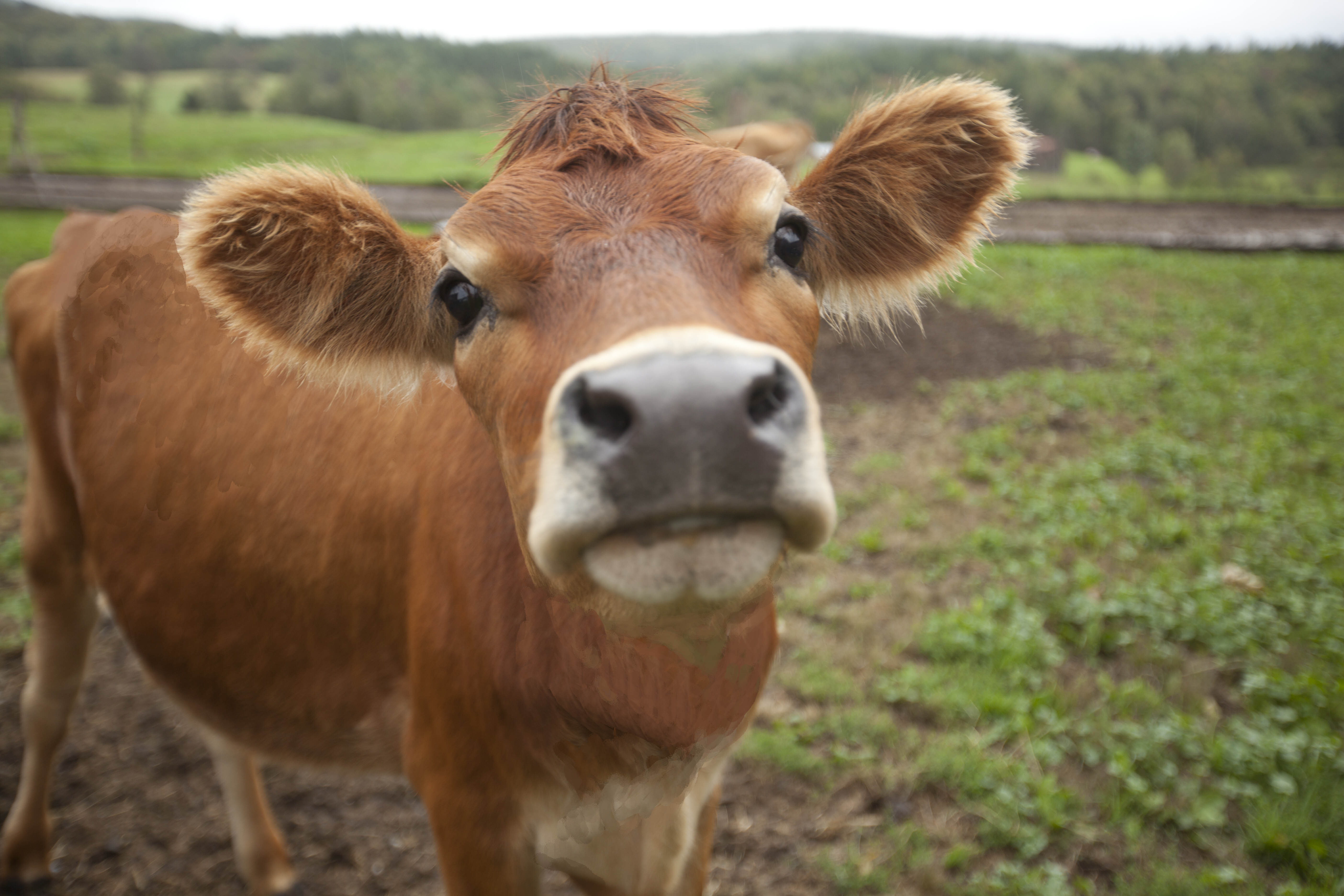 Did You Celebrate Cow Appreciation Day? | Must Be The Milk