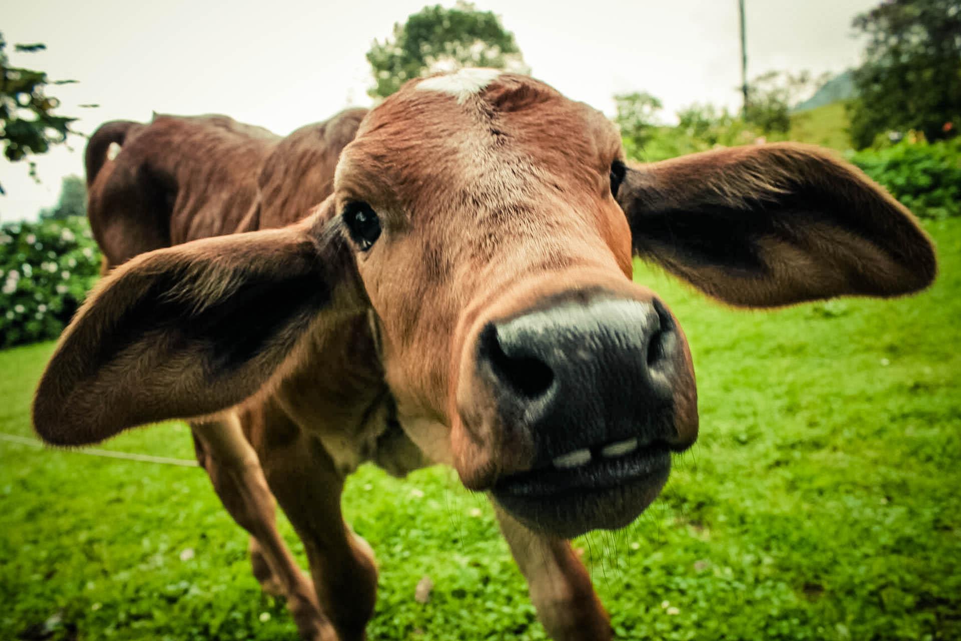 Cow, Animals, Calf, Head, Nature, HQ Photo