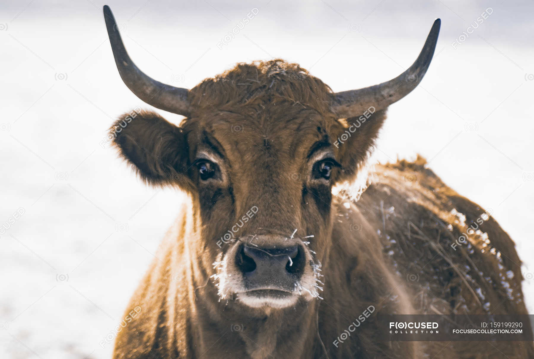 Cow with horns standing outdoors in snow — Stock Photo | #159199290