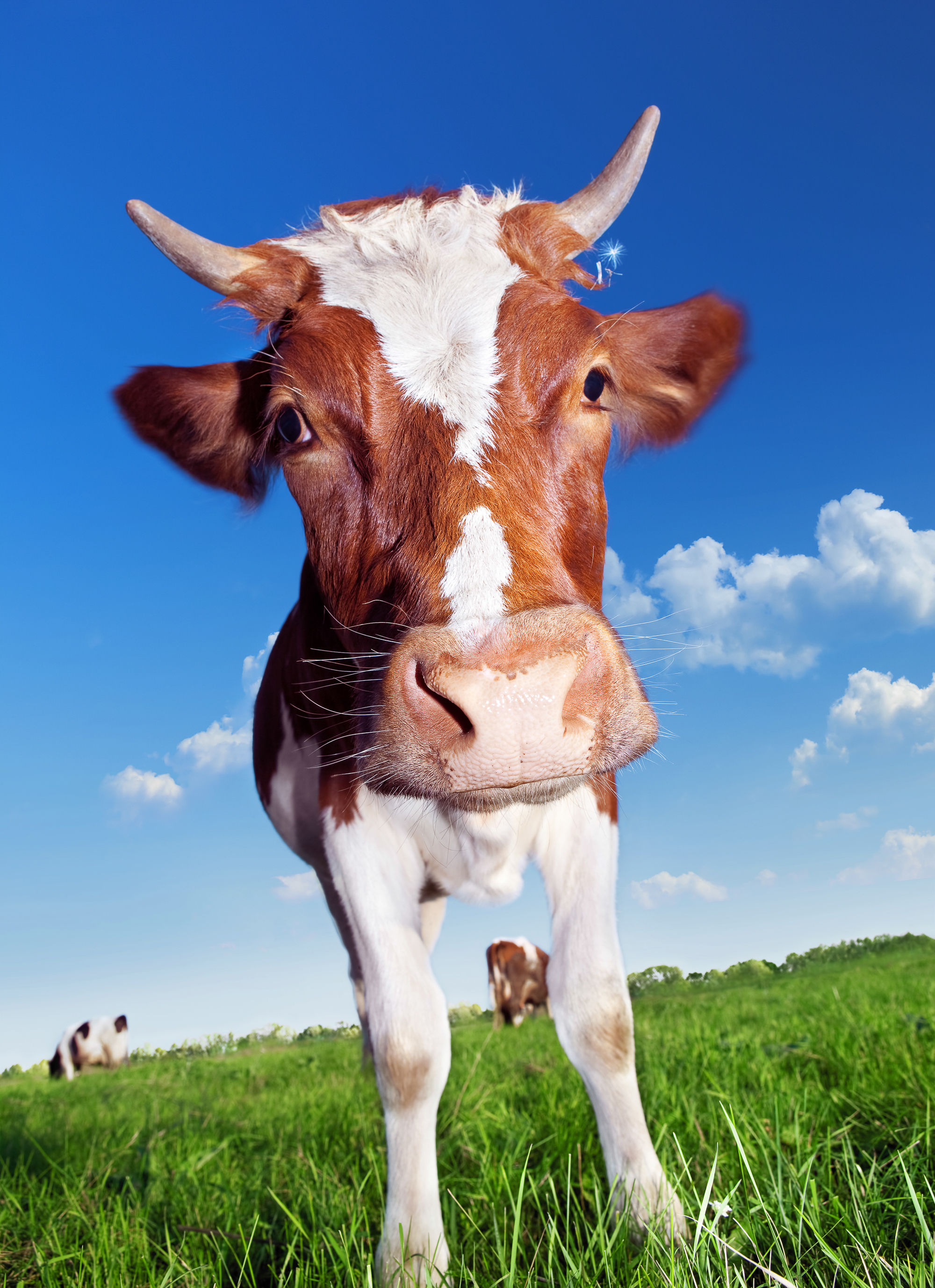 Cow with horns, Agriculture, One, Grass, Graze, HQ Photo